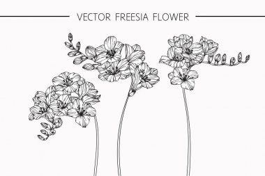 Freesia flowers drawing and sketch with line-art