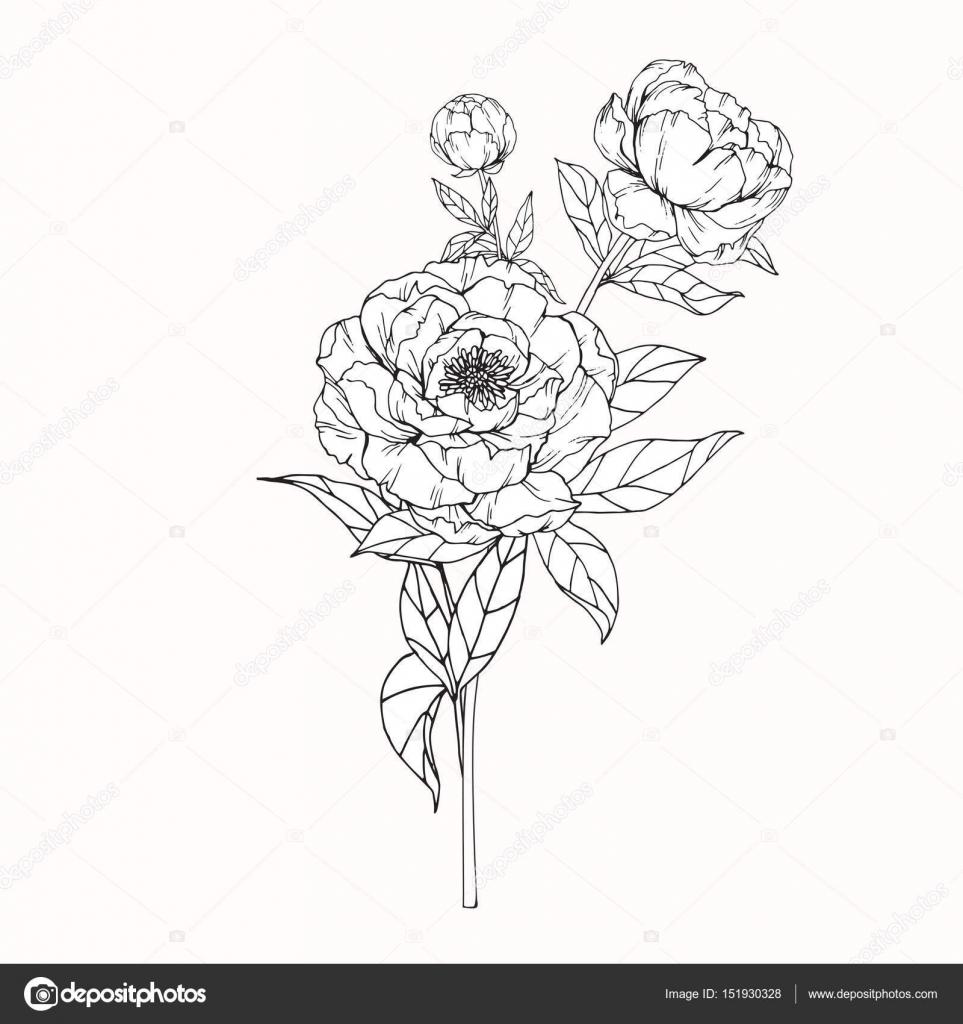 Fleurs De Pivoine Dessin Et Croquis Avec Trait Image Vectorielle
