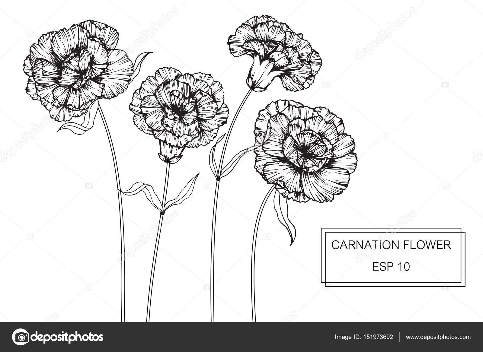 Carnation flowers drawing and sketch with line art stock vector carnation flowers drawing and sketch with line art on white backgrounds vector by suwi19 ccuart Gallery