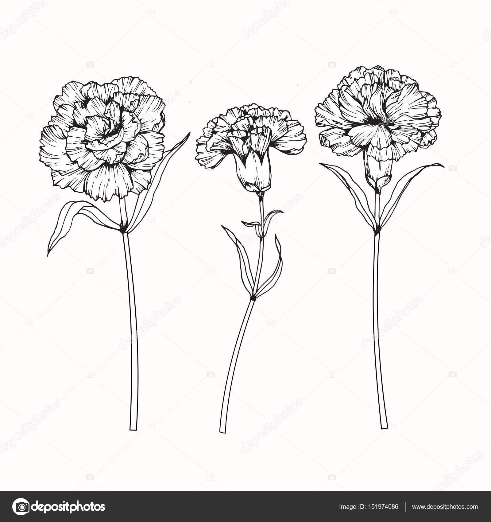 Fleurs D Oeillets De Dessin Et D Esquisse Avec Trait Image