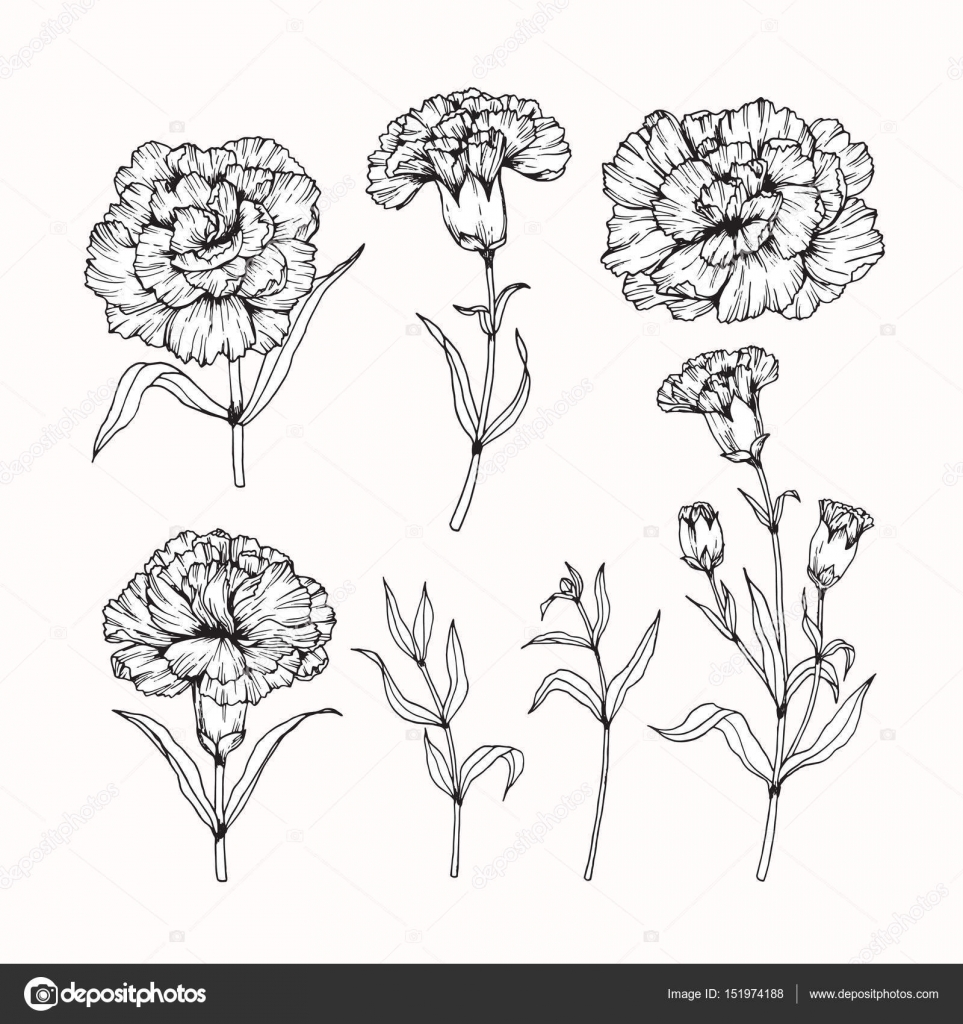 Carnation Flower Line Drawing : Carnation flowers drawing and sketch with line art — stock