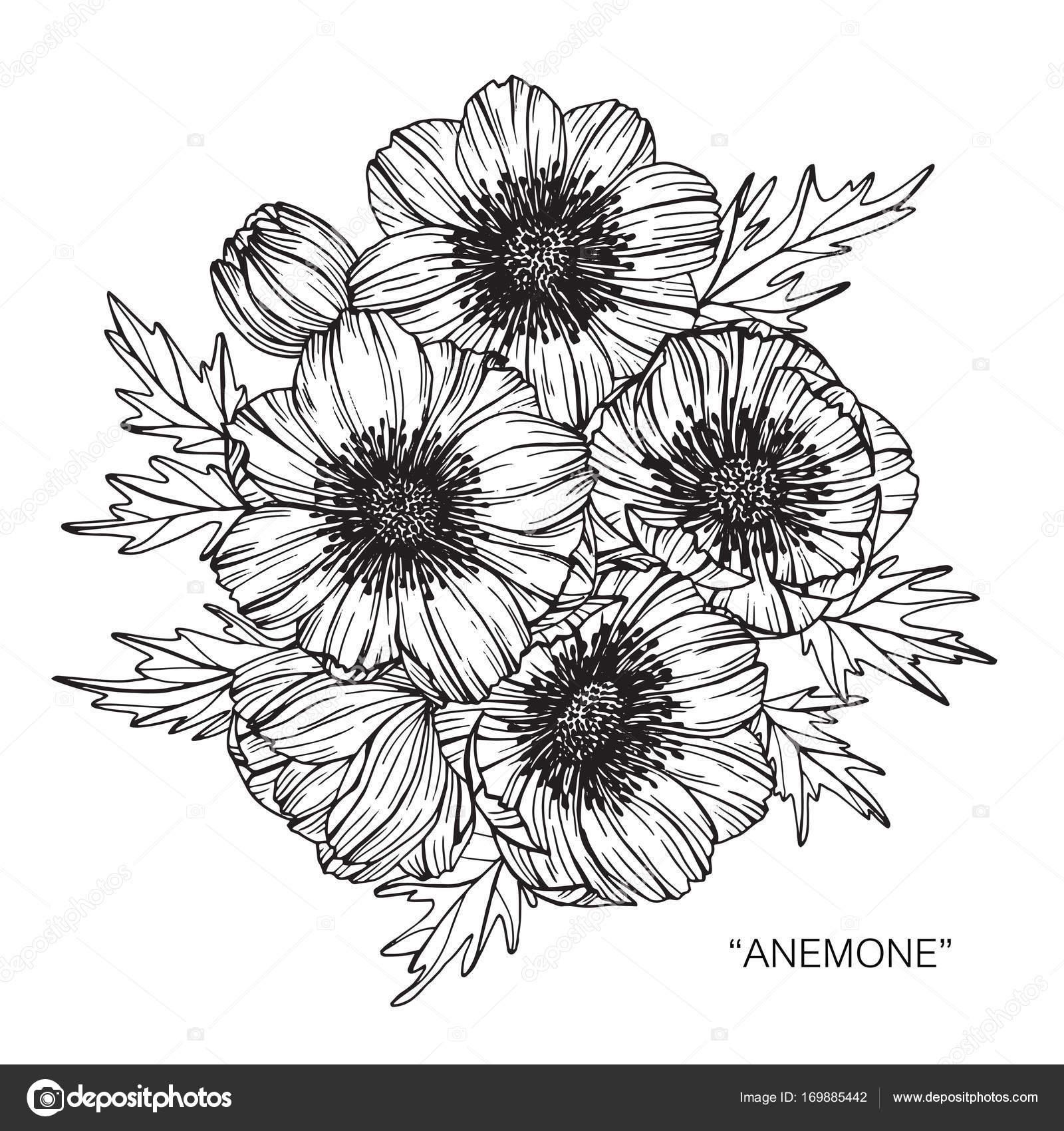 Anemone Flower Line Drawing : Цветы Анемоны Рисование Эскиз Линии Арт Белом Фоне