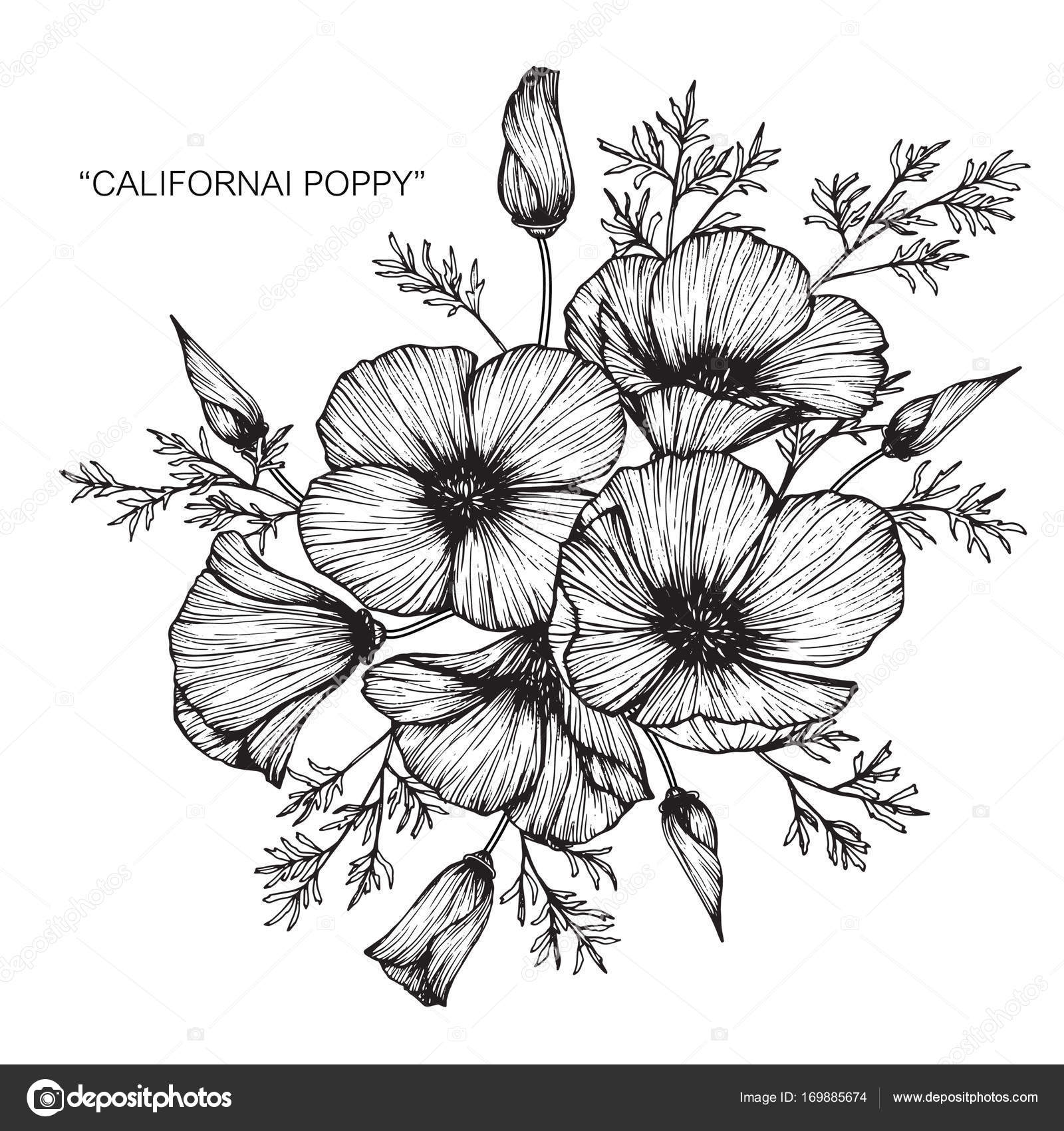 California Poppy Flowers Drawing Sketch Line Art White Backgrounds