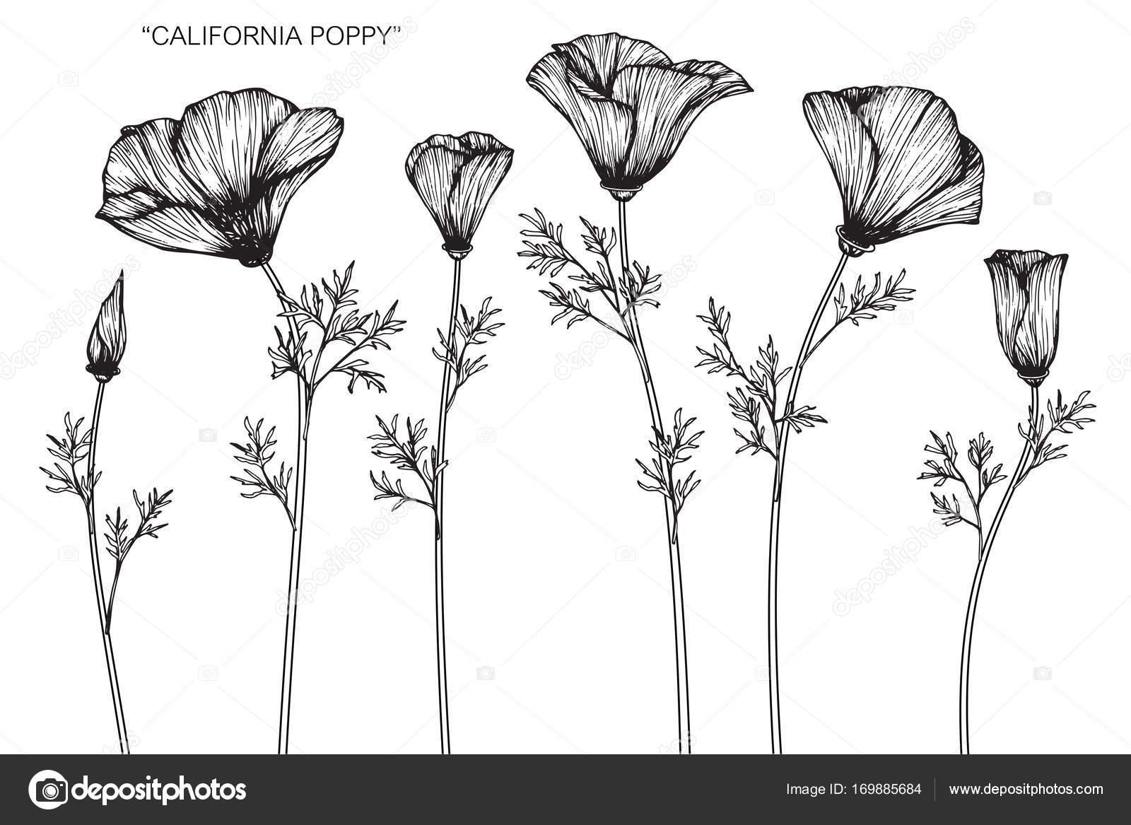 California poppy flowers drawing sketch line art white backgrounds california poppy flowers drawing and sketch with line art on white backgrounds vector by suwi19 mightylinksfo