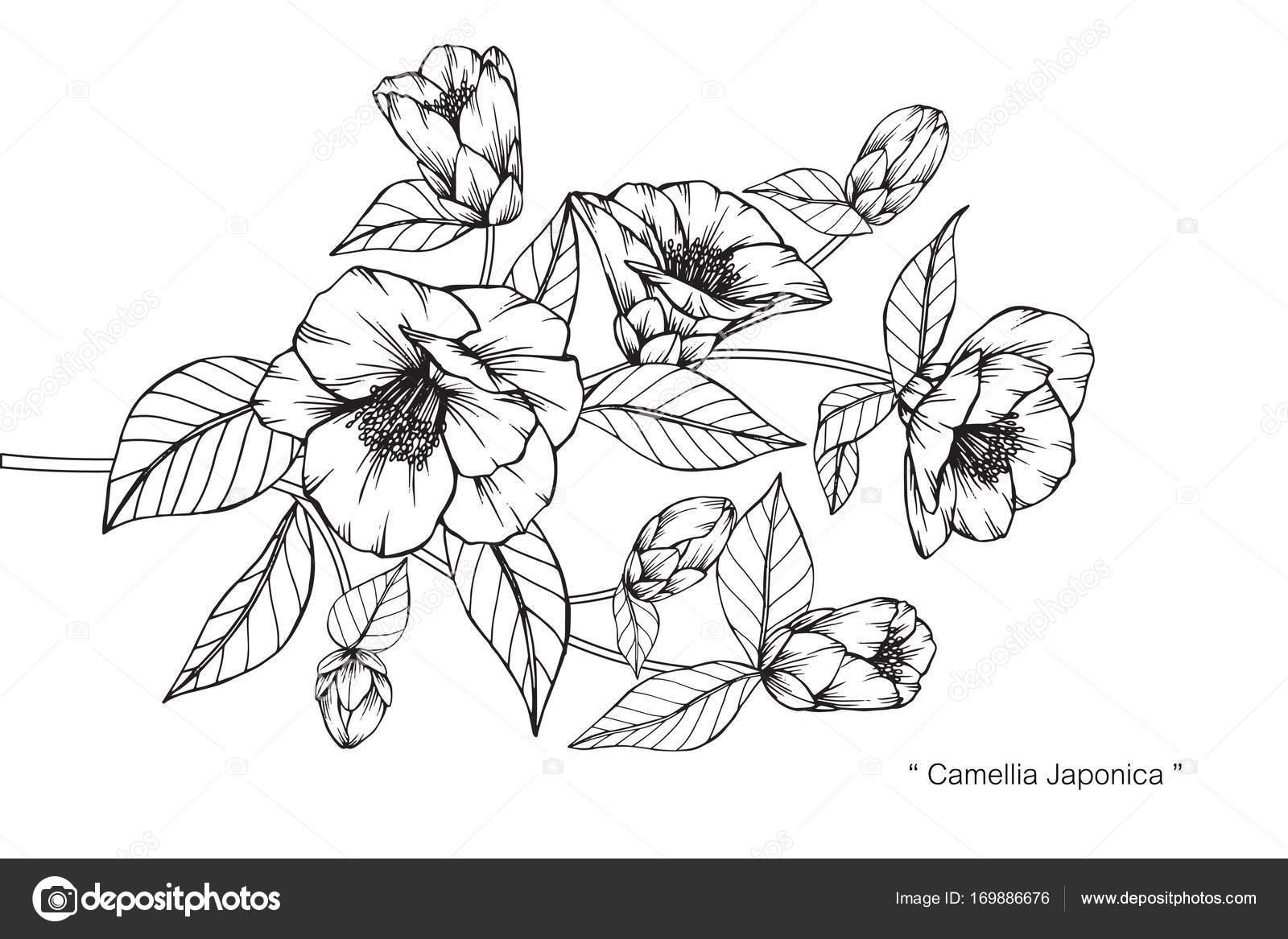 Sketch Com Linha Arte Fundo Branco Flores Camélia Japonica Desenho ...