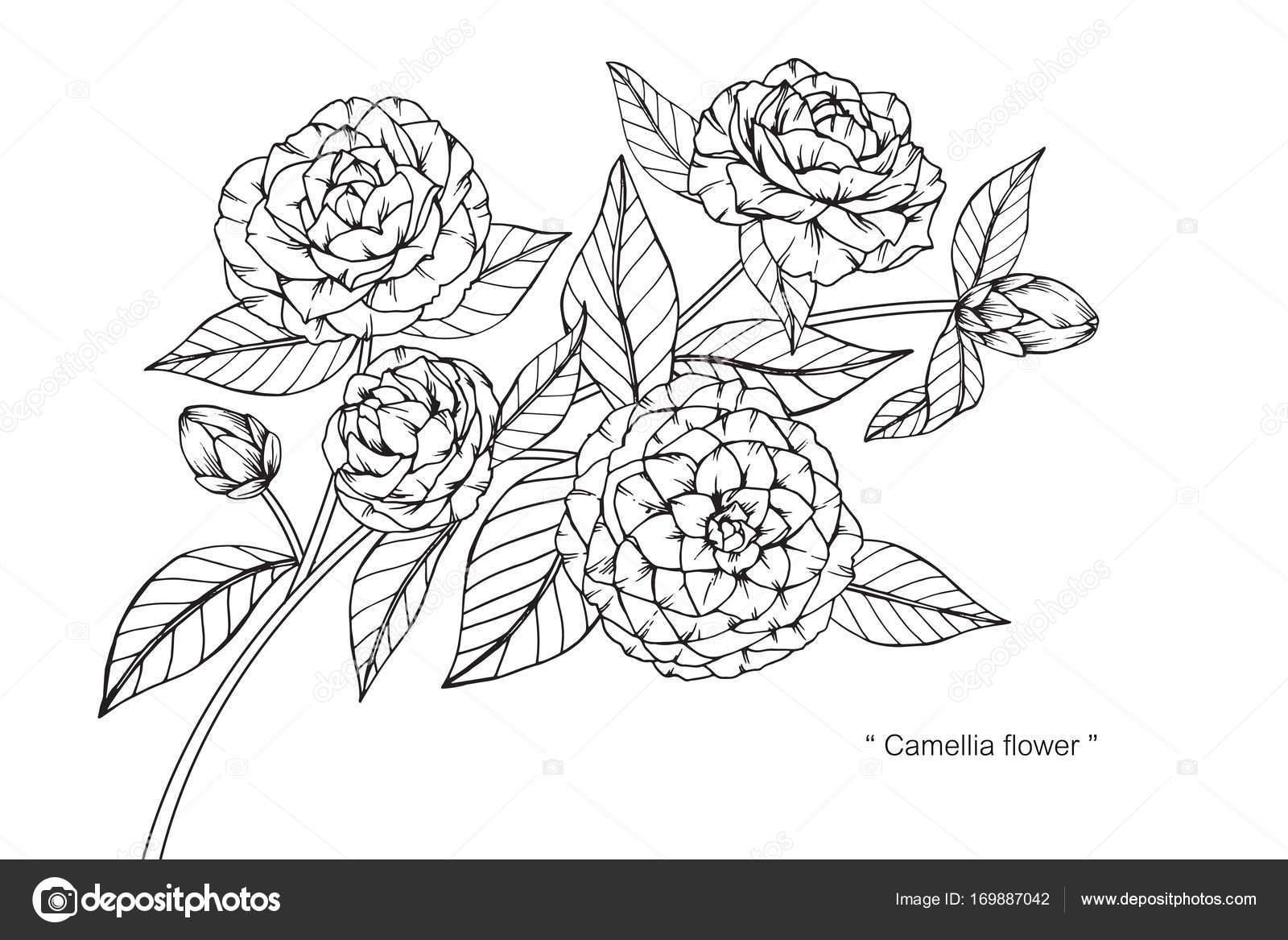 Croquis Et Des Fleurs De Camelia De Dessin Image Vectorielle