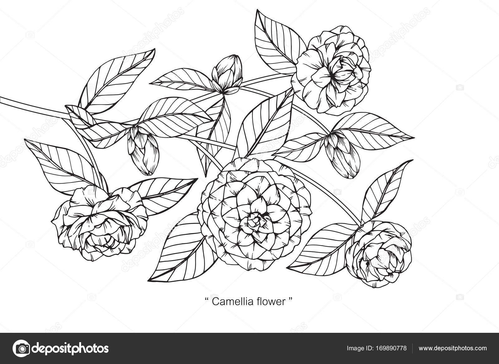 椿の花を描くと白い背景の線画でスケッチ ストックベクター Suwi19