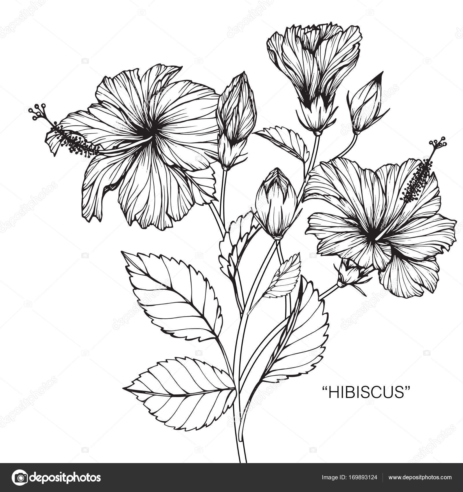 Flower Petals Line Drawing : Hibiscus drawing sketch line art white backgrounds — stock