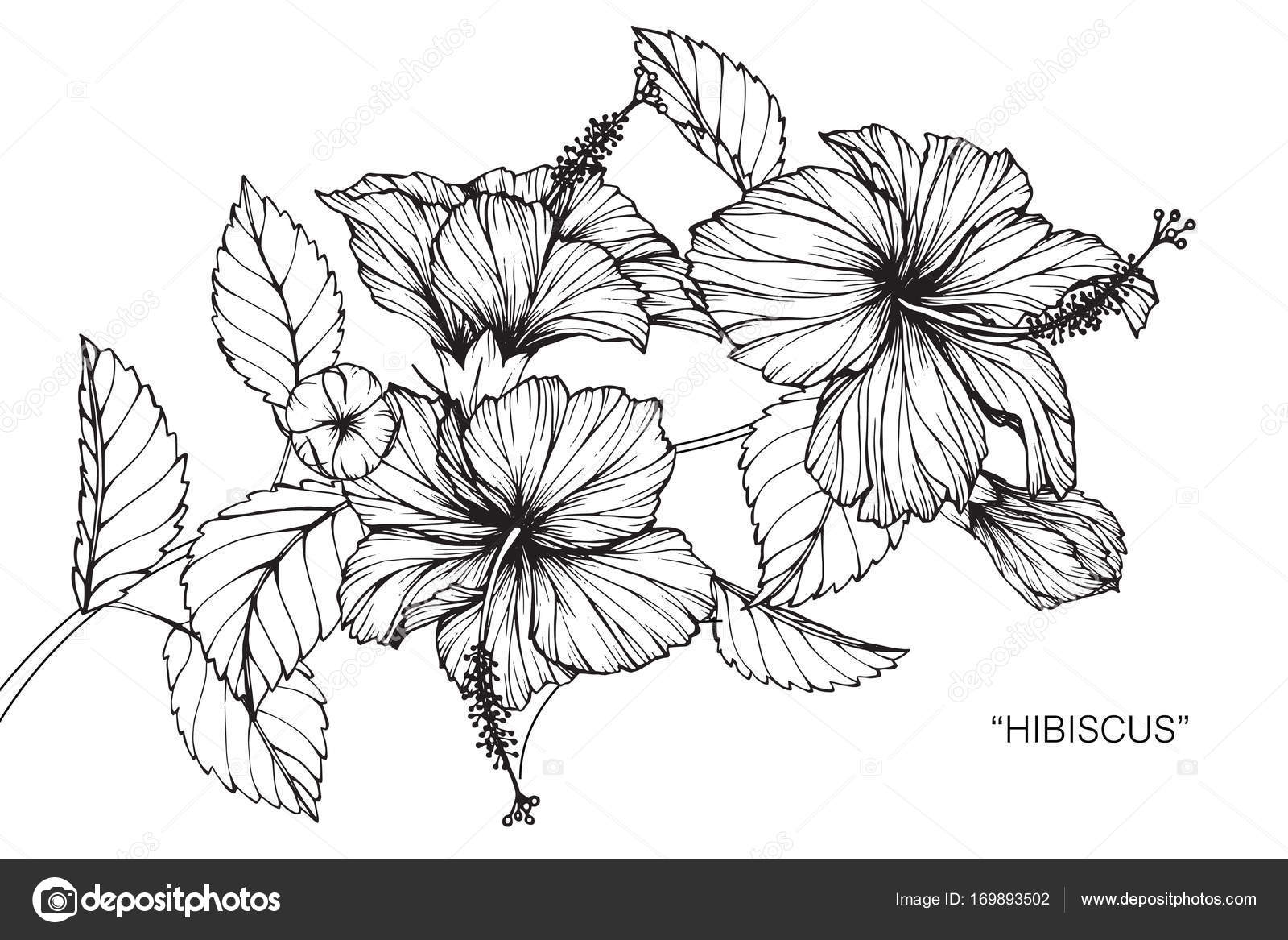 Hibiscus Flower Line Drawing : Hibiscus flower drawing sketch black white line art