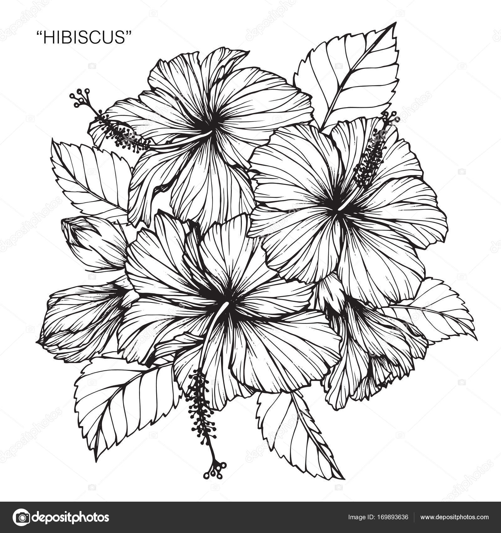 Hibiscus flower drawing sketch black white line art stock vector hibiscus flower drawing sketch black white line art stock vector thecheapjerseys Choice Image