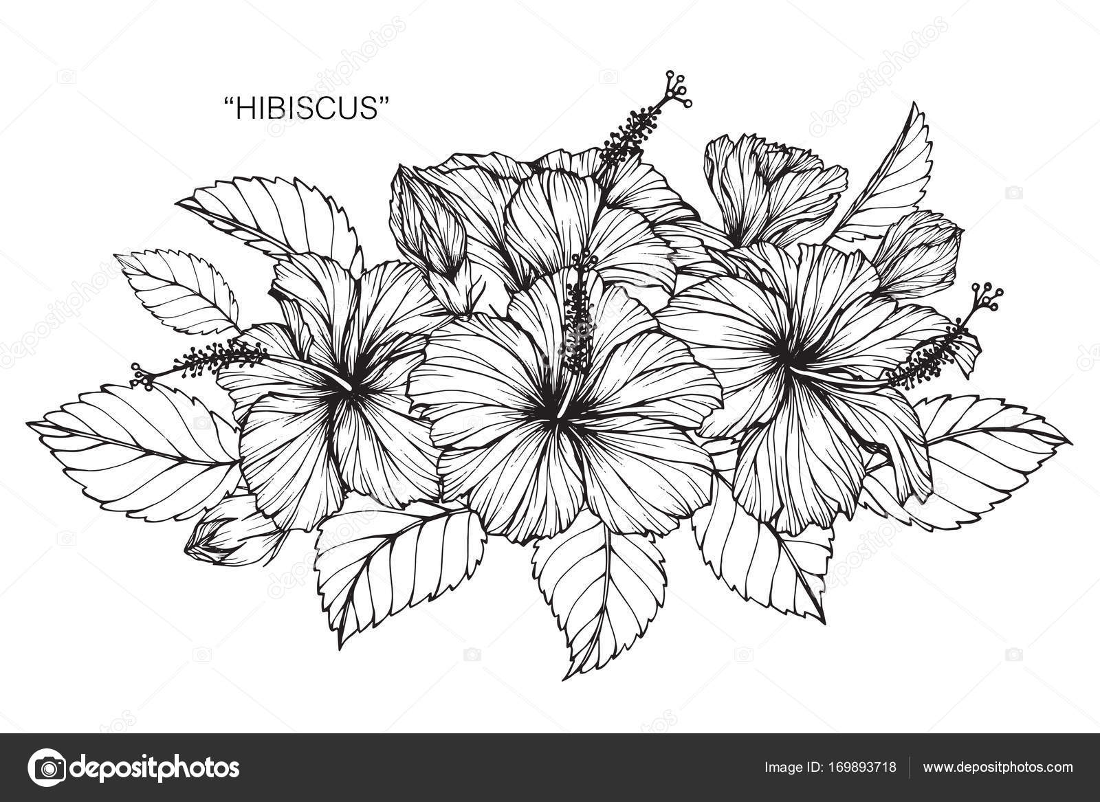 Hibiscus Flower Drawing Sketch Black White Line Art Stock Vector