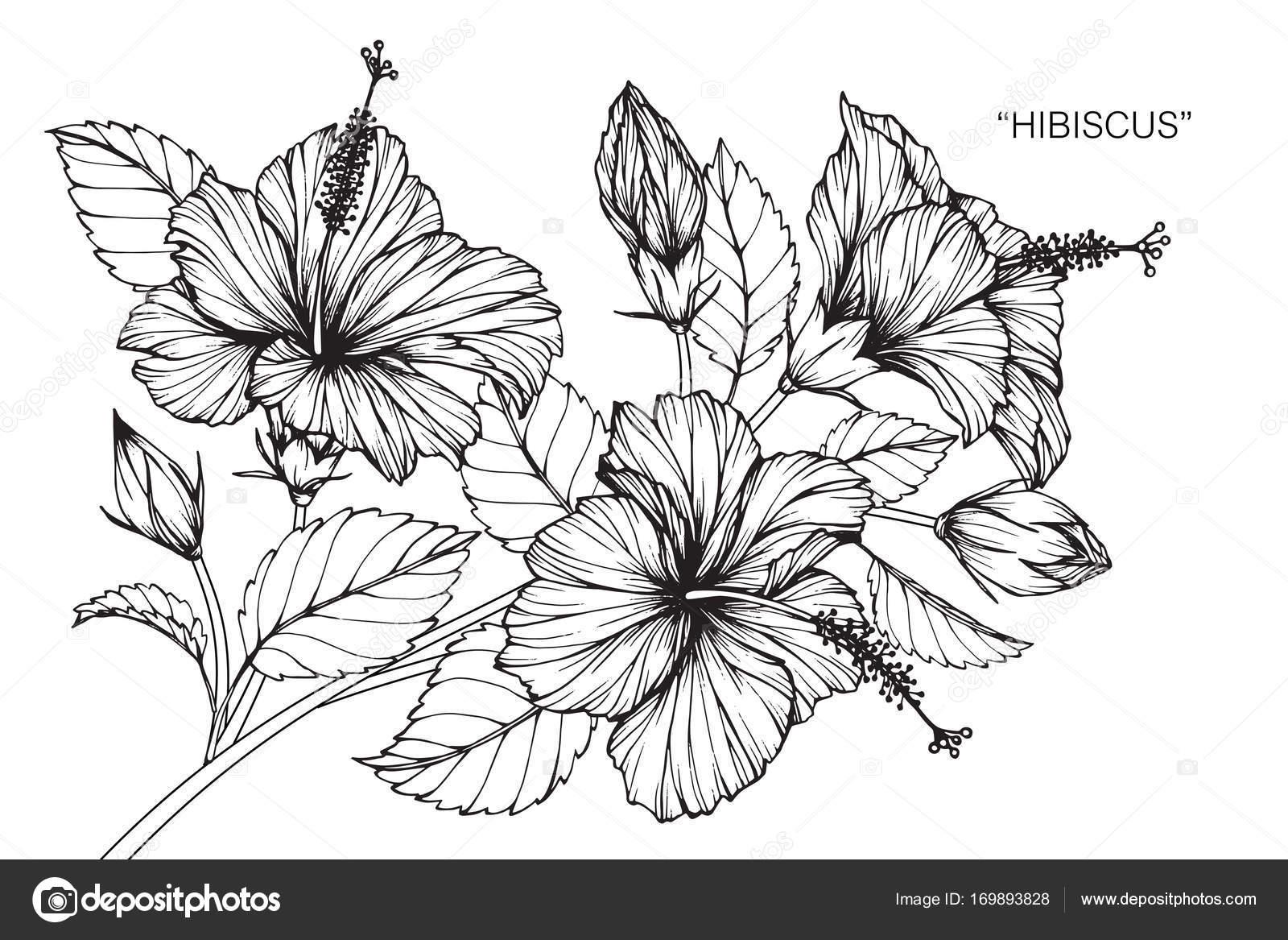 Fleur Hibiscus Dessin Croquis Avec Trait Noir Blanc Image
