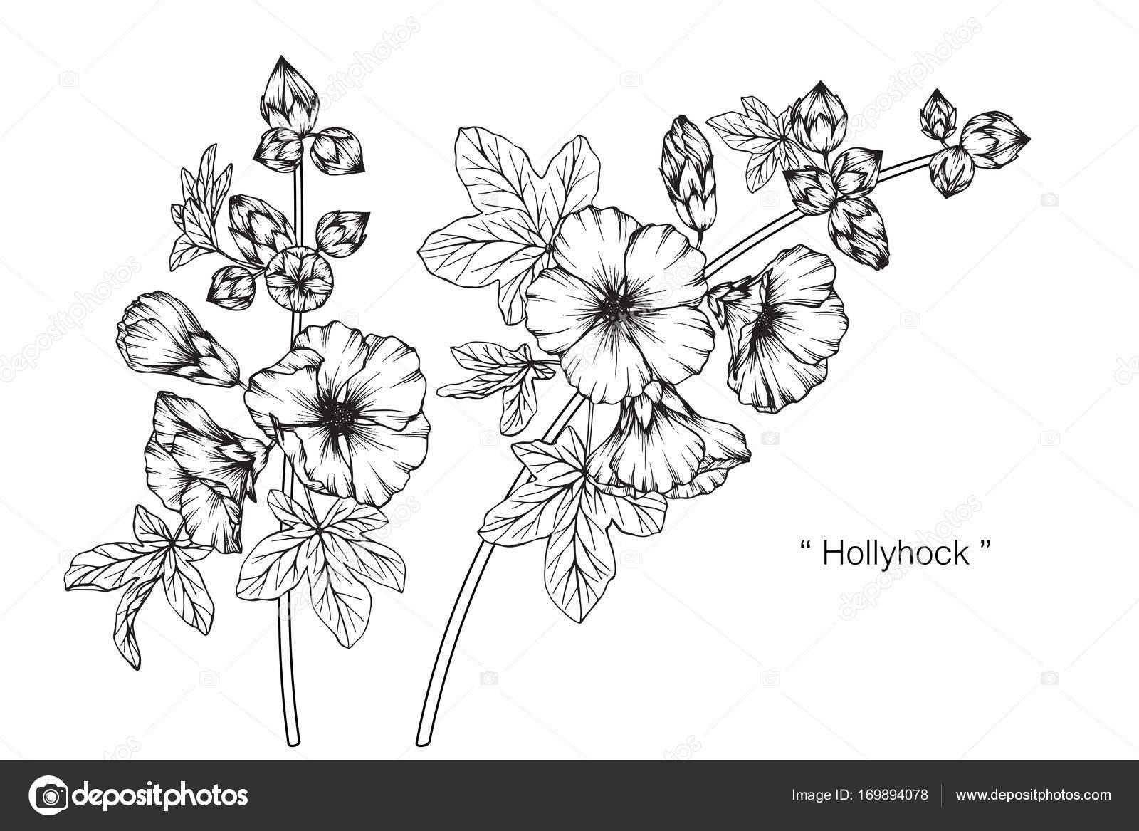 Fleur Rose Trémière Dessin Croquis Avec Trait Noir Blanc