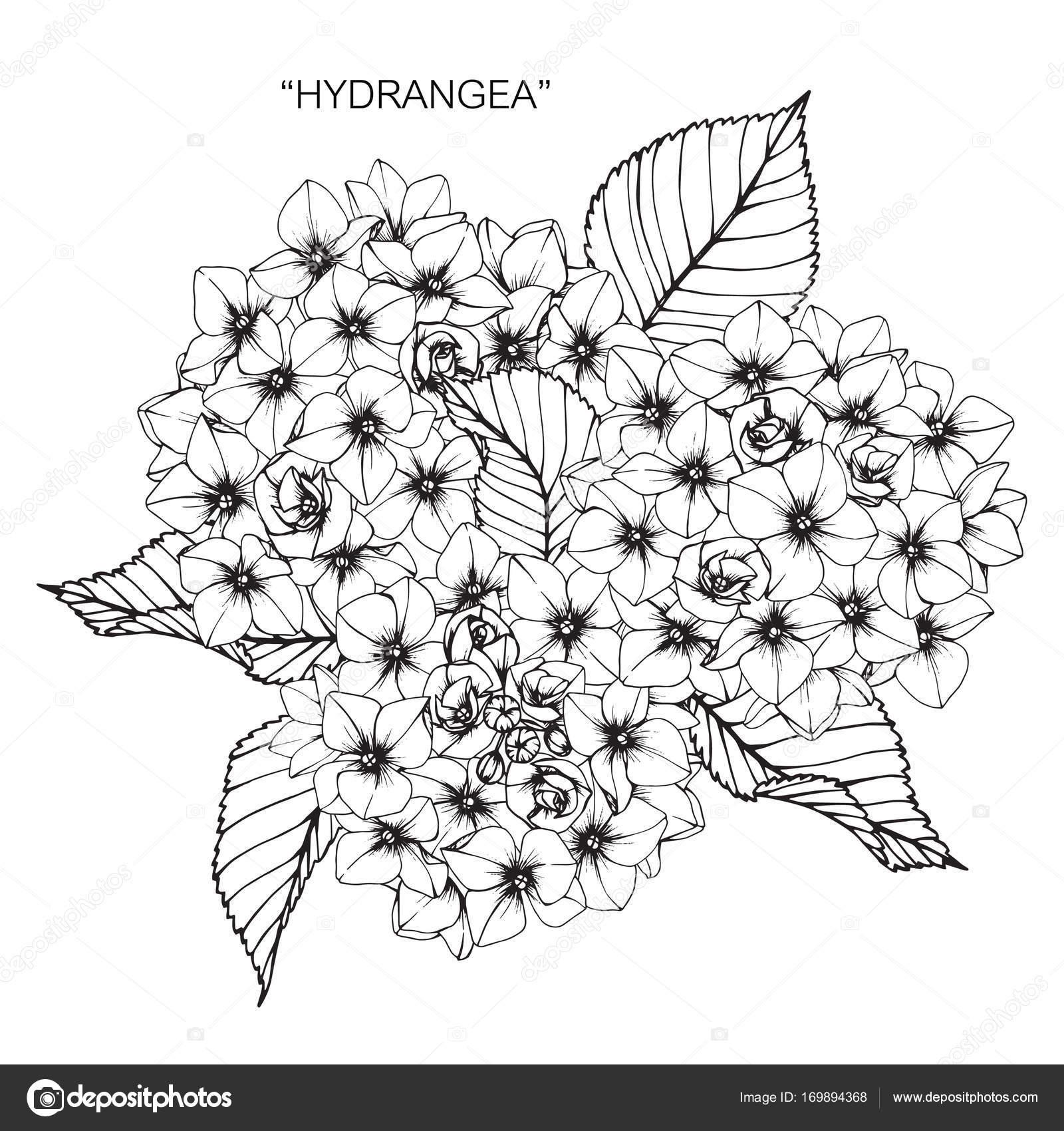 Dibujos Flores Hortensias Flor Hortensia Dibujo Dibujo Con Linea