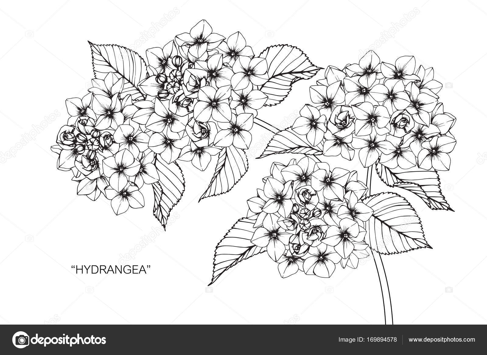 Fleur Hortensia Dessin Croquis Avec Trait Noir Blanc Image