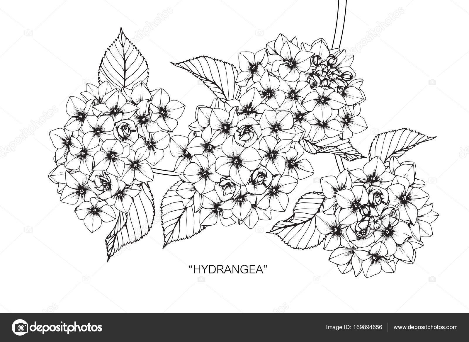 Flores Hortênsia Sketch Com Linha Preta Branca Arte Desenho — Vetor ...