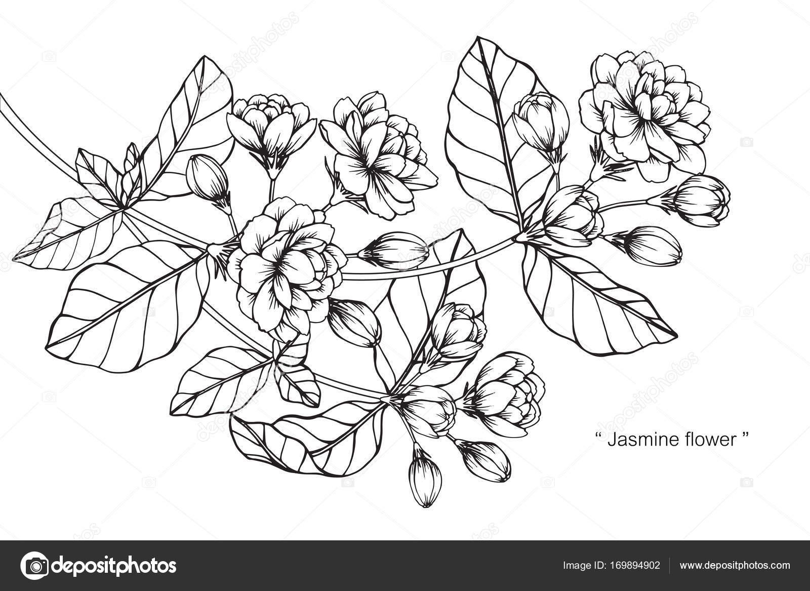 Flor Del Jazmín Dibujo Dibujo Con Línea Blanco Negro Arte — Archivo ...