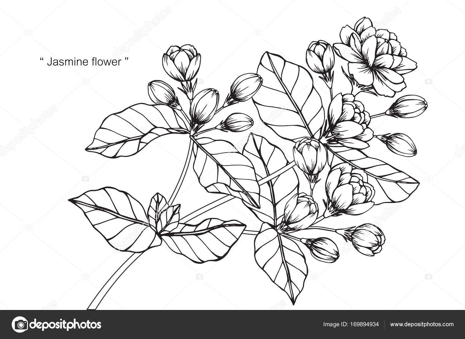 Fleur Jasmin Dessin Croquis Avec Trait Noir Blanc Image
