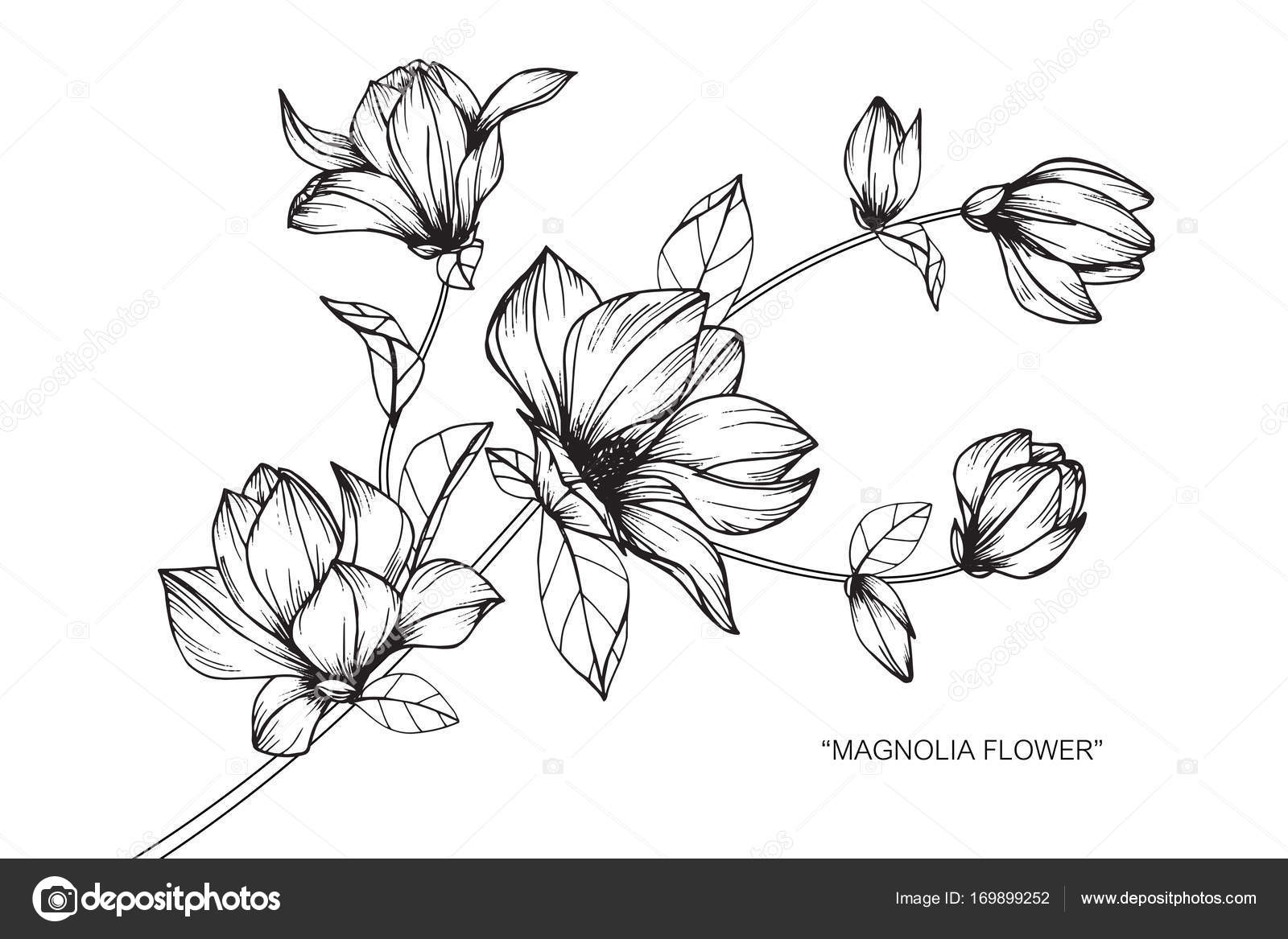 Magnolia Flower Line Drawing : Dorable flower drawings in black and white ensign