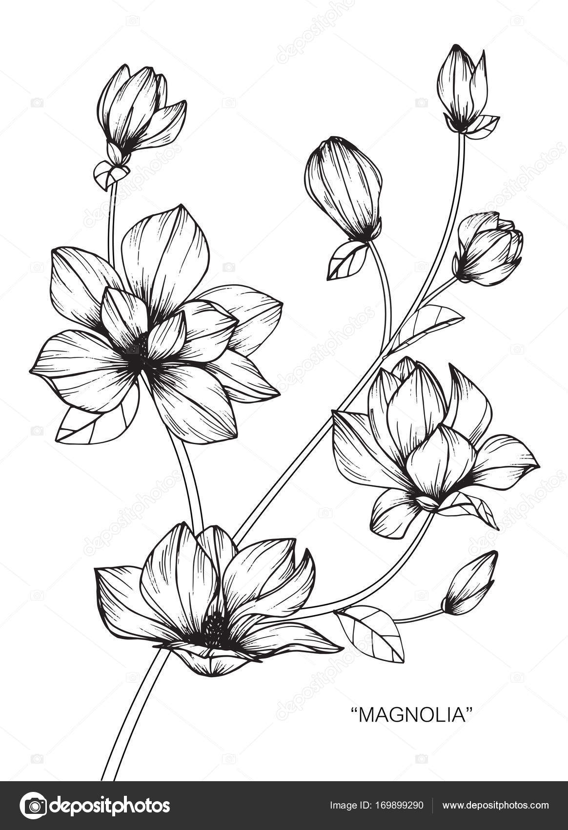 Magnolia Flower Line Drawing : Magnolia flower drawing flowers ideas for review