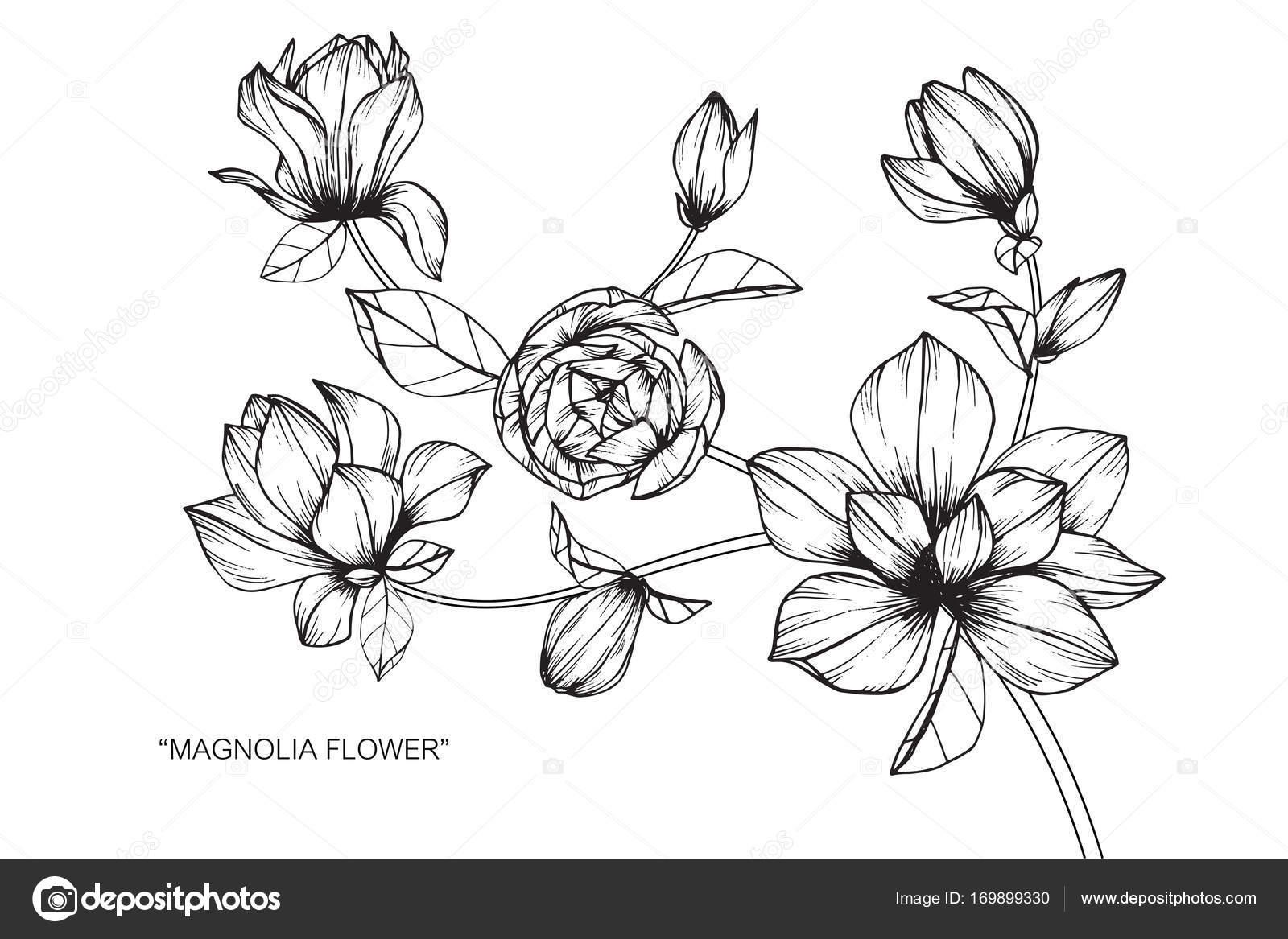 Flor Magnólia Sketch Com Linha Preta Branca Arte Desenho — Vetor de ...