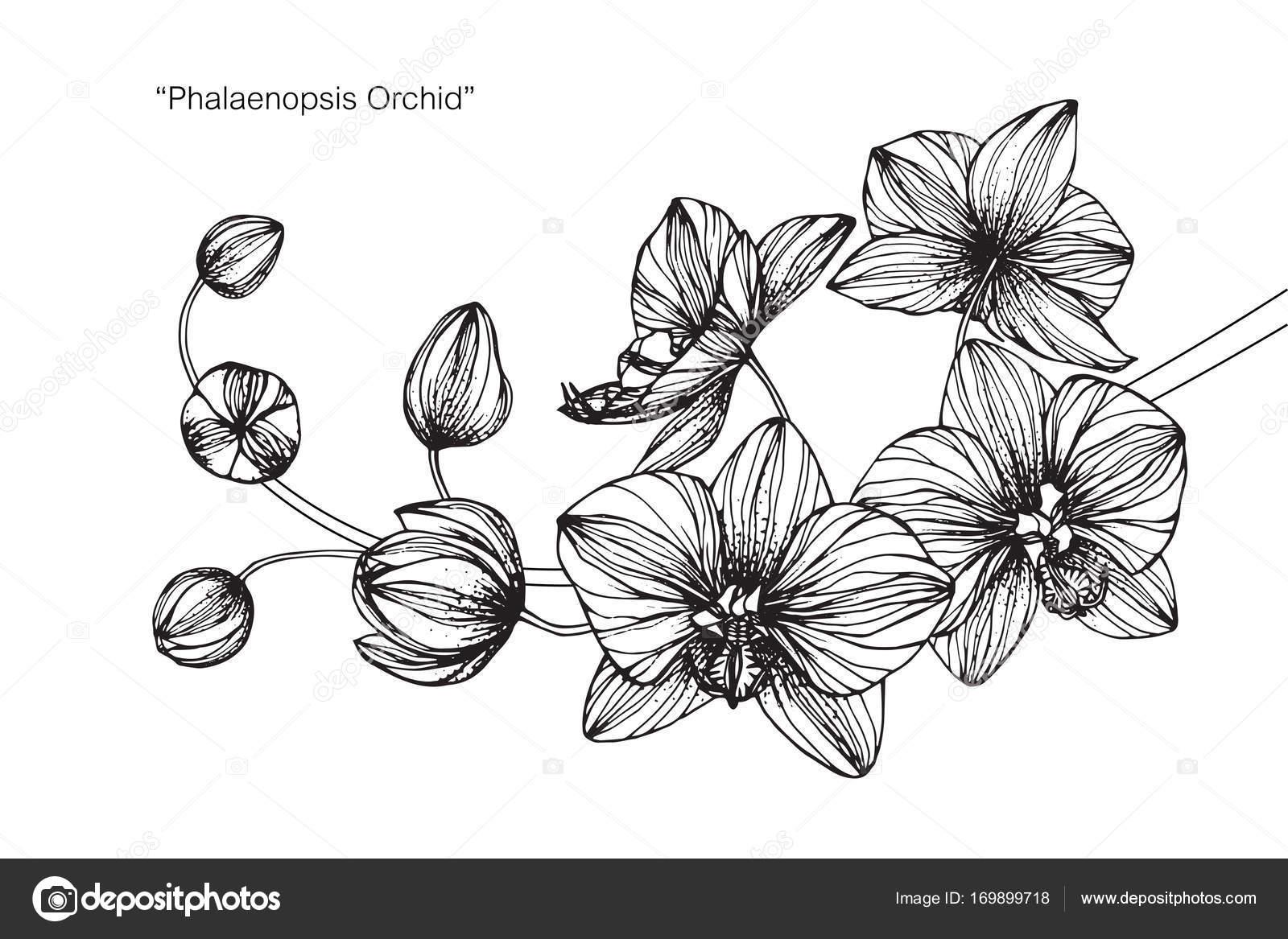Flores Orquídeas Sketch Com Linha Preta Branca Arte Desenho — Vetor ...