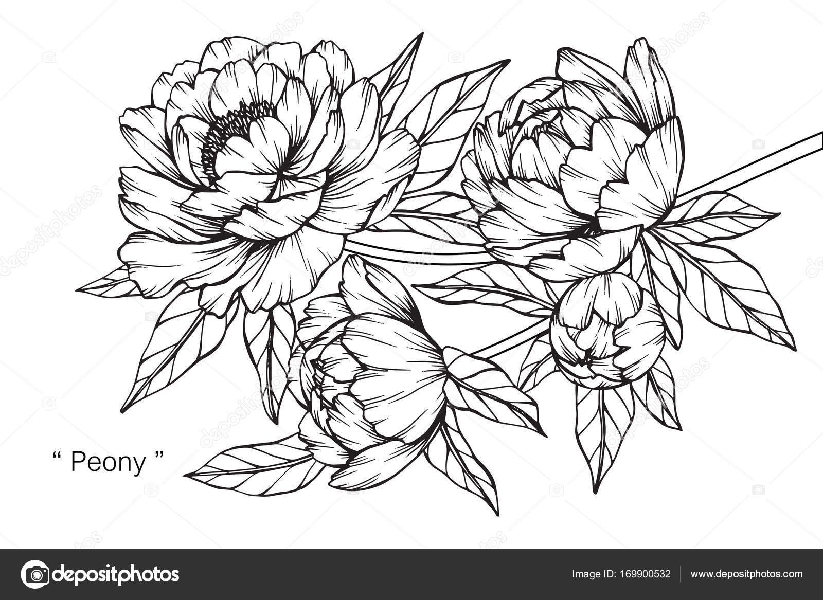 Peony Flower Line Drawing : Peony flower drawing sketch black white line art — stock