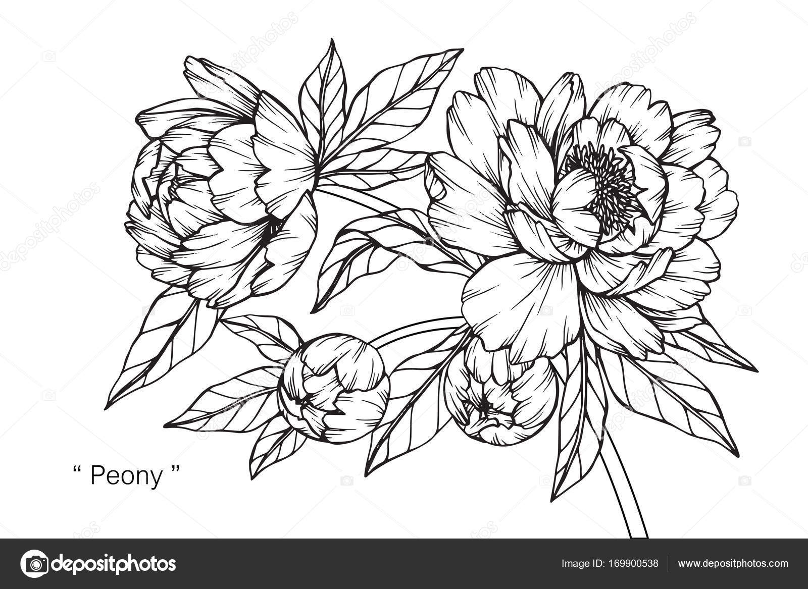 peony flower drawing sketch black white line art � stock