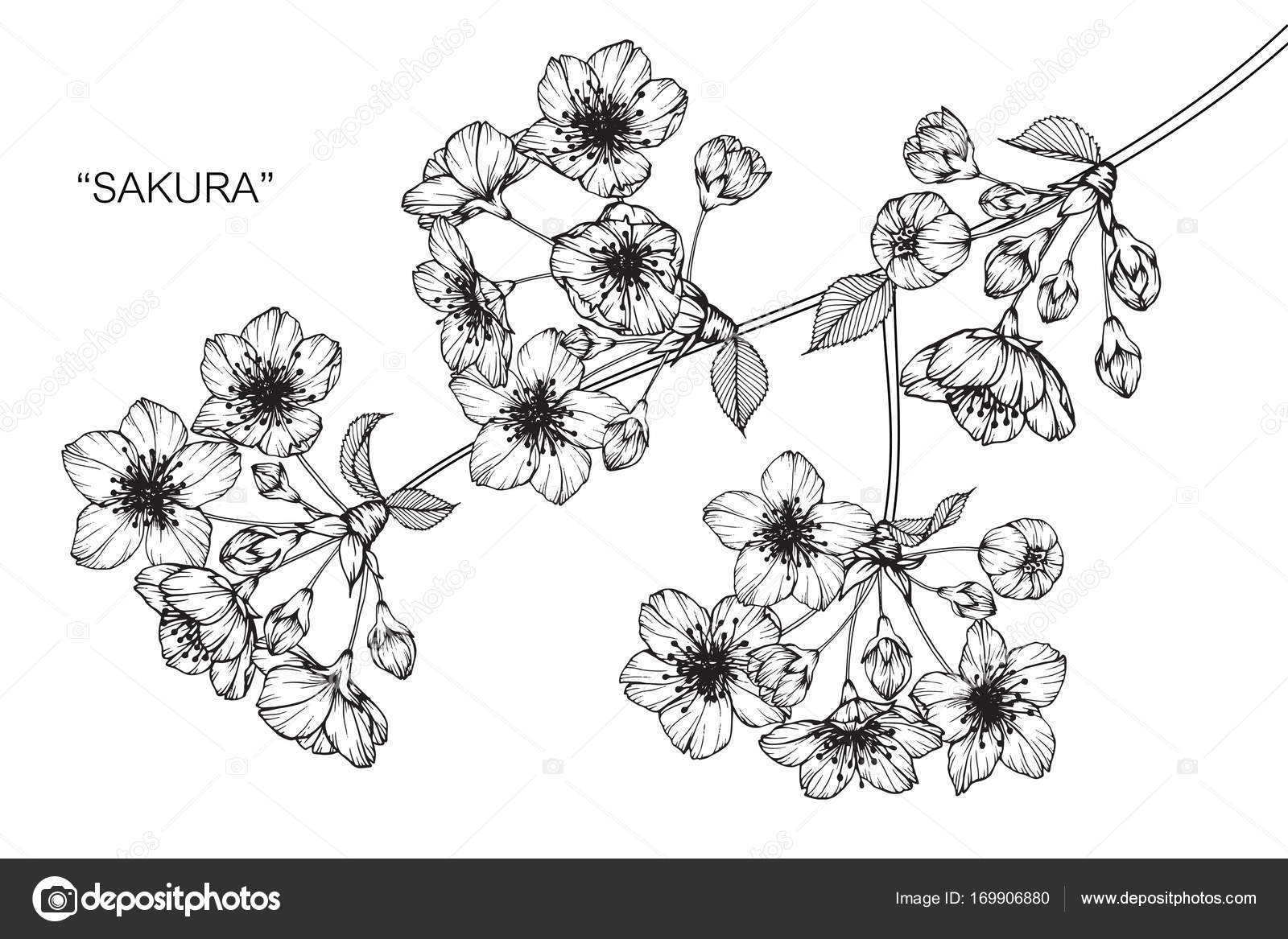 Blossom Flower Line Drawing : Cherry blossom flower line drawing flowers ideas