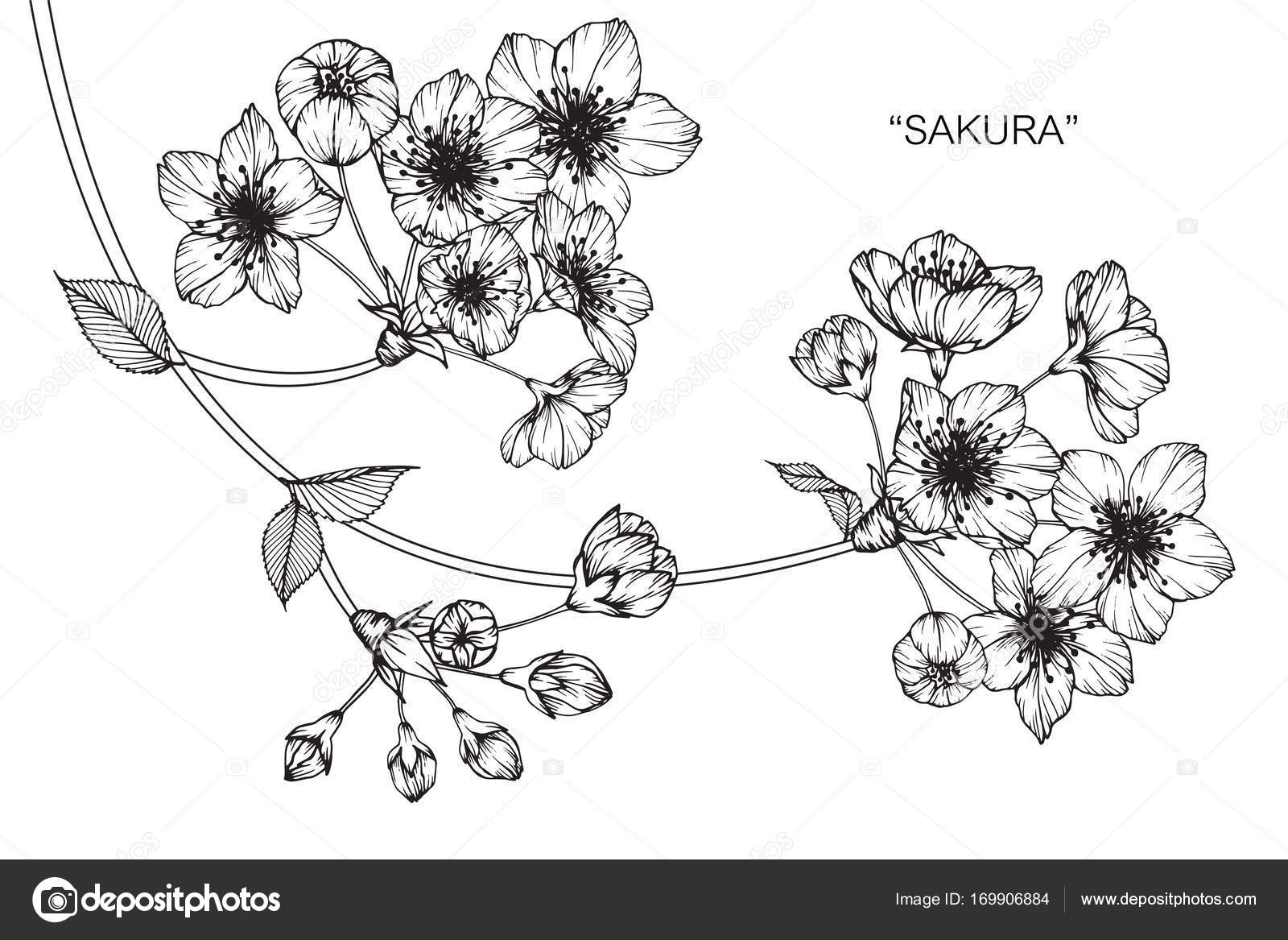 Blossom Flower Line Drawing : Cherry blossom flower drawing flowers ideas for review