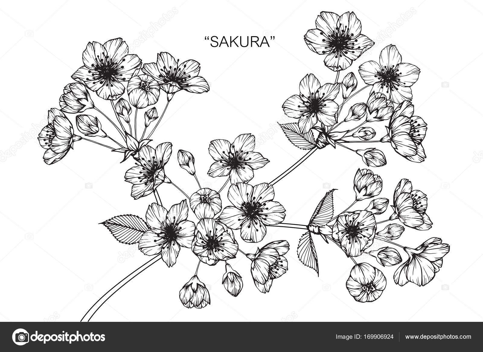 Fleur Cerisier Fleurs Dessin Croquis Avec Trait Noir Blanc Image