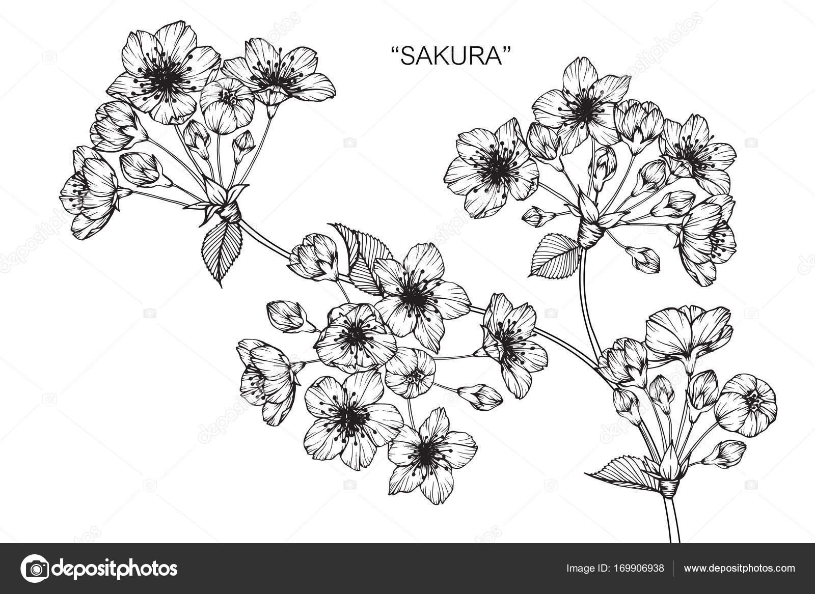 Fleur Cerisier Fleurs Dessin Croquis Avec Trait Noir Blanc