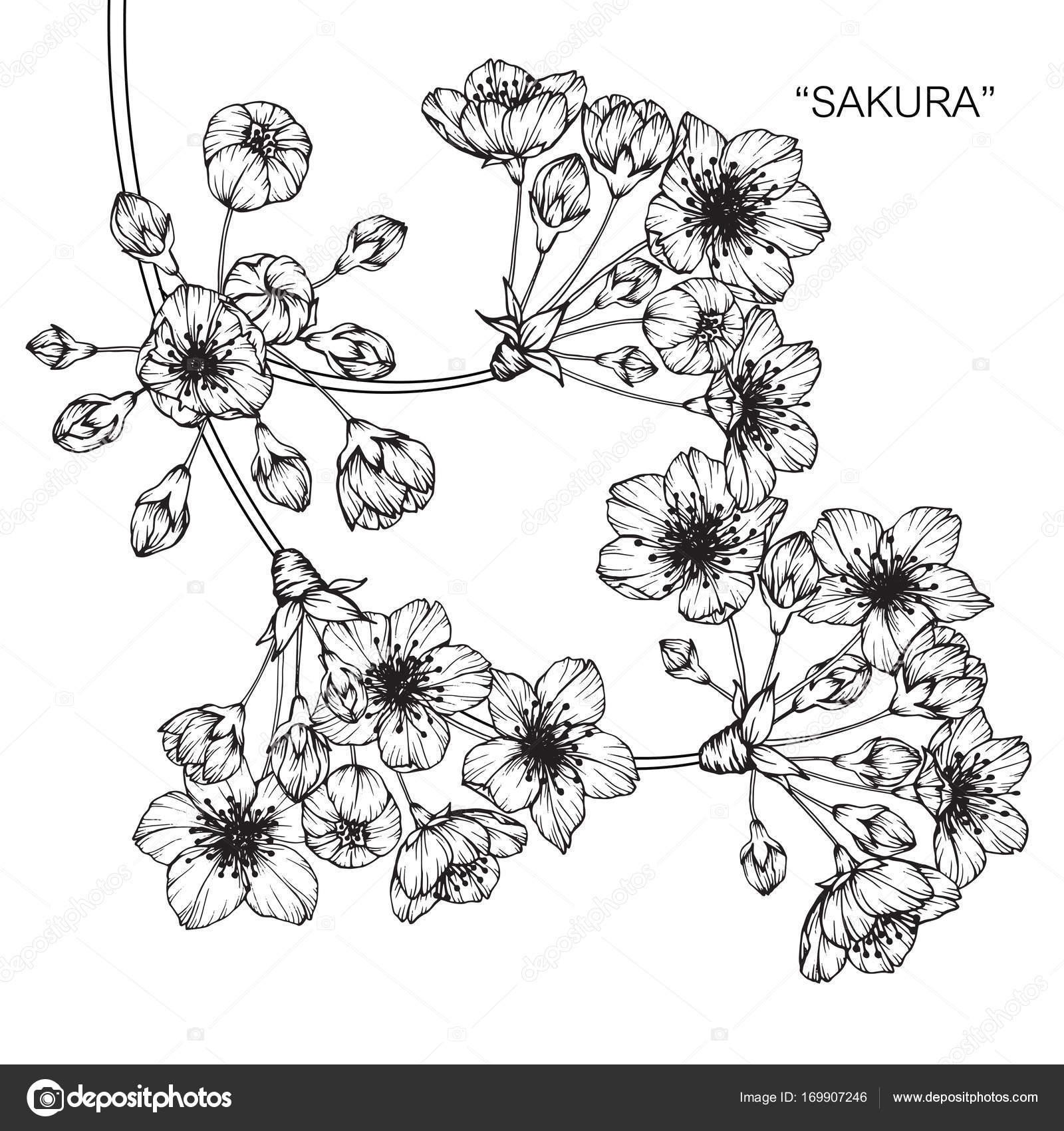 Flor Cerejeira Sketch Com Linha Preta Branca Arte Desenho — Vetor de ...