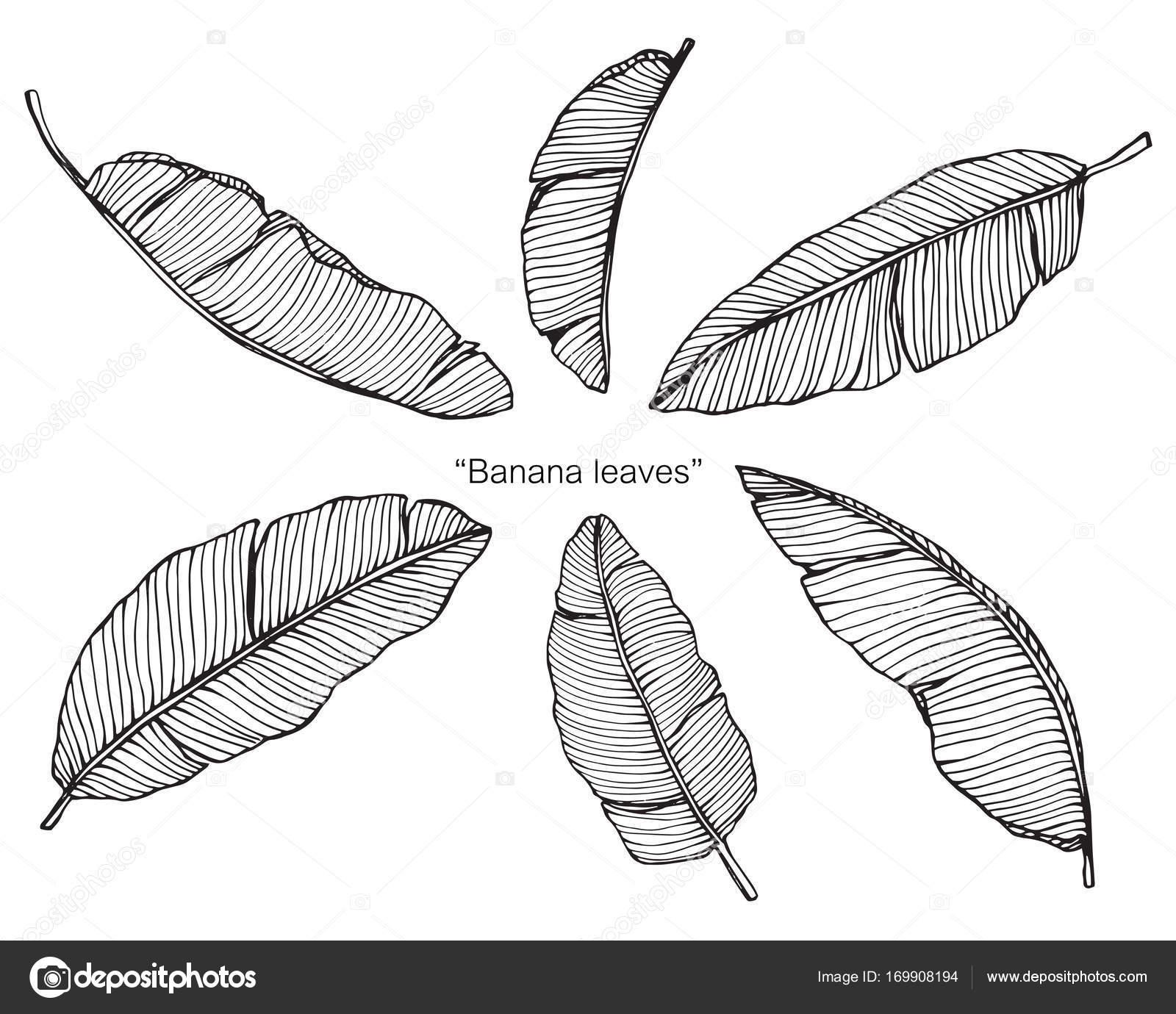 Desenho De Folhas De Bananeira Sketch Com Linha Preta E