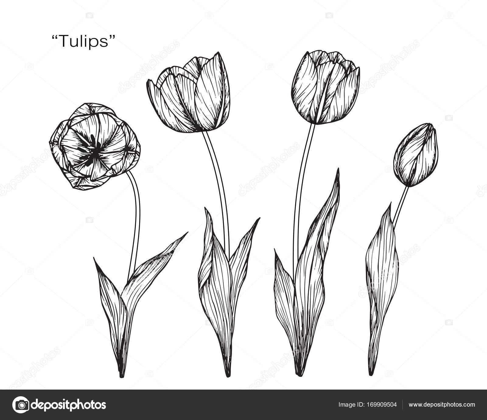 fleur de tulipes dessin et croquis avec trait noir et. Black Bedroom Furniture Sets. Home Design Ideas