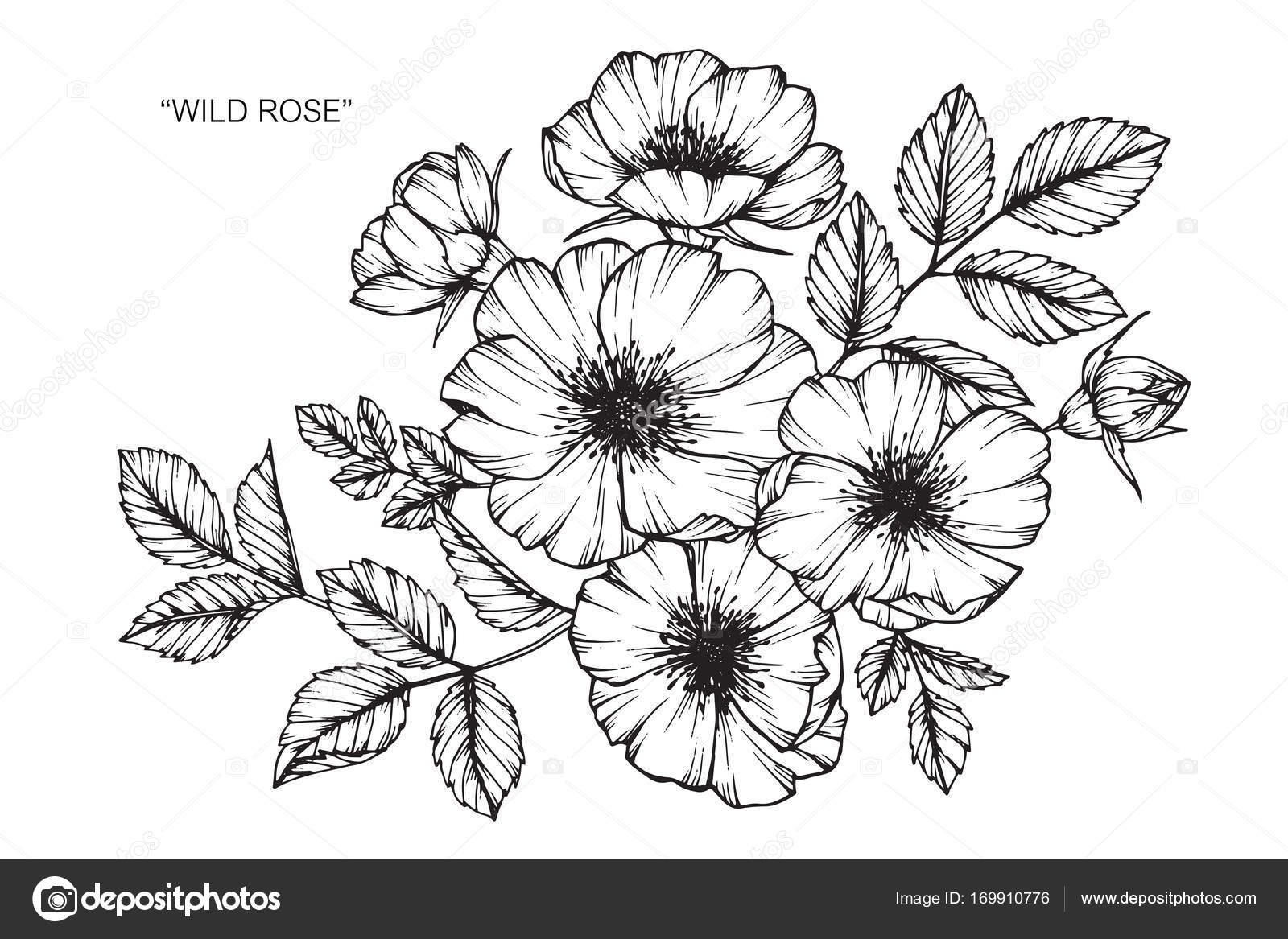 Wild rose flower drawing and sketch with black and white line art wild rose flower drawing and sketch with black and white line art mightylinksfo Image collections