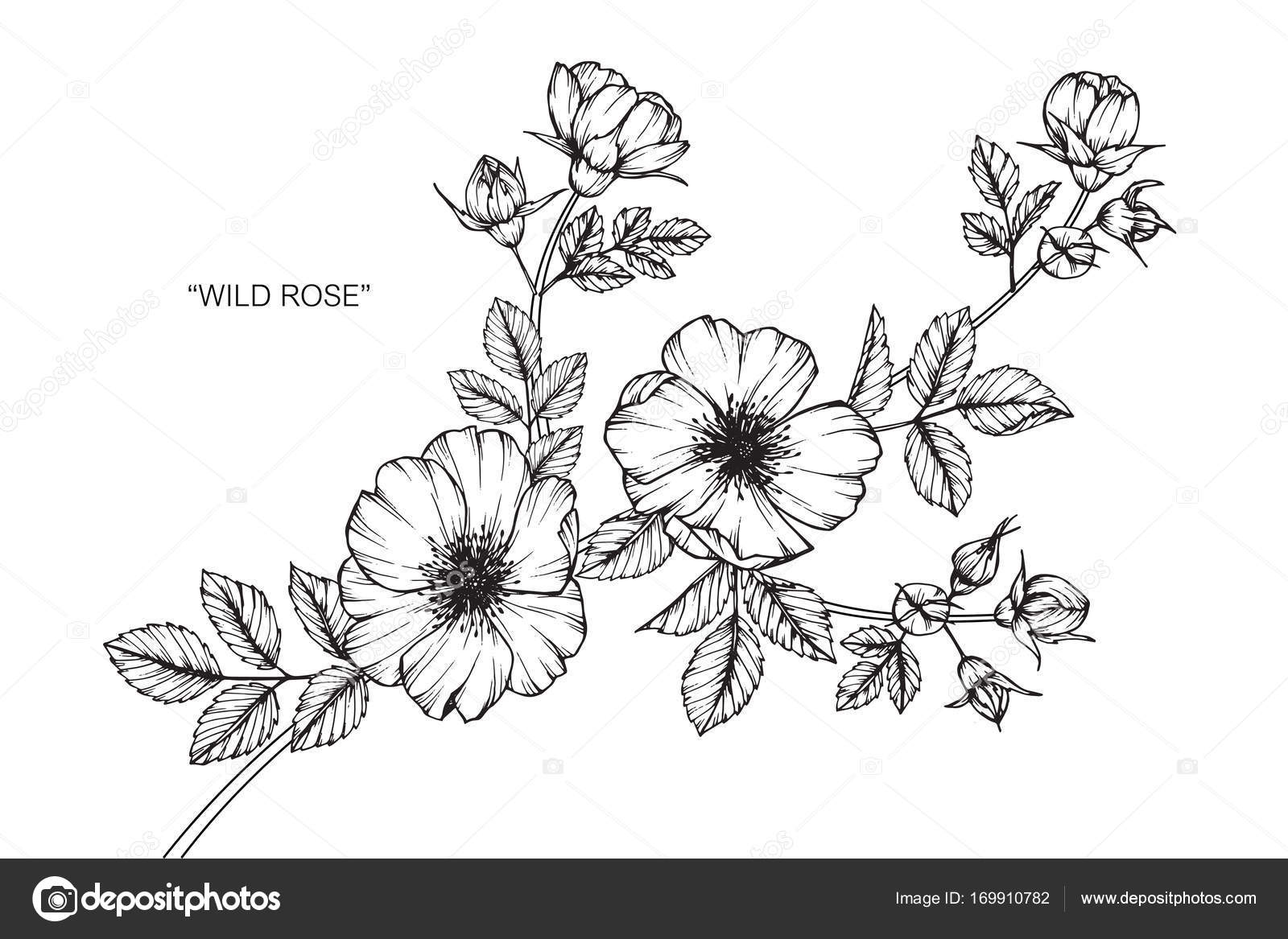 Wild Rose Drawing Wild Rose Flower Drawing And Sketch