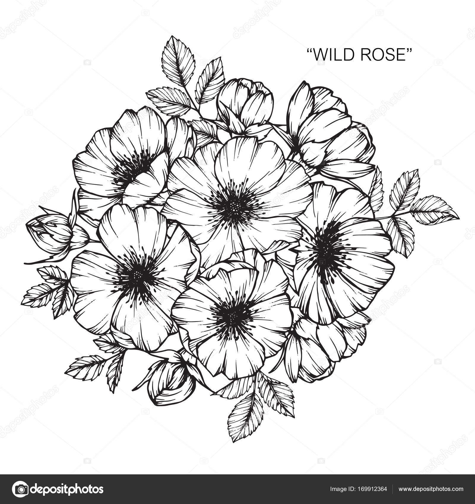 Flor de rosa selvagem. Sketch com linha preta e branca-arte e ...