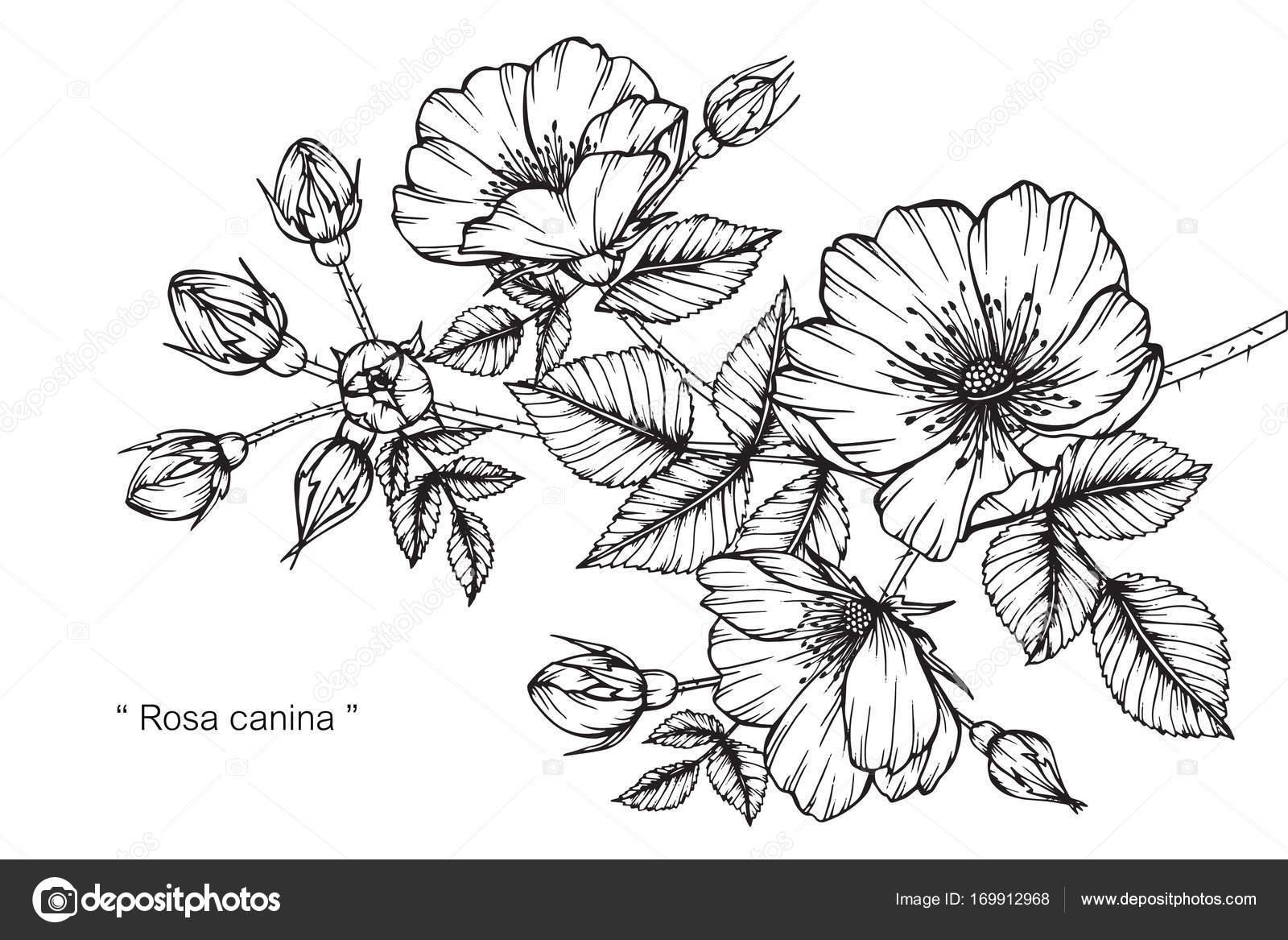 Fleur de rosa canina dessin et croquis avec trait noir et - Dessin de fleur en noir et blanc ...