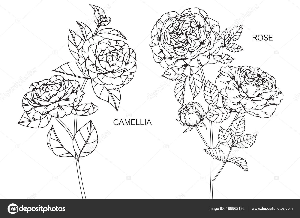 Fleur De Camelia Et De Roses Dessin Et Croquis Avec Trait Noir Et