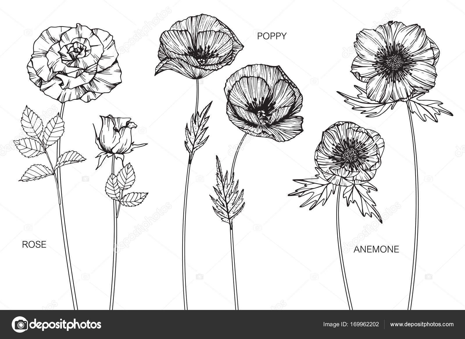Ruze Vlci Mak Anemone Kvetina Kresba A Nacrt S Cernobilou
