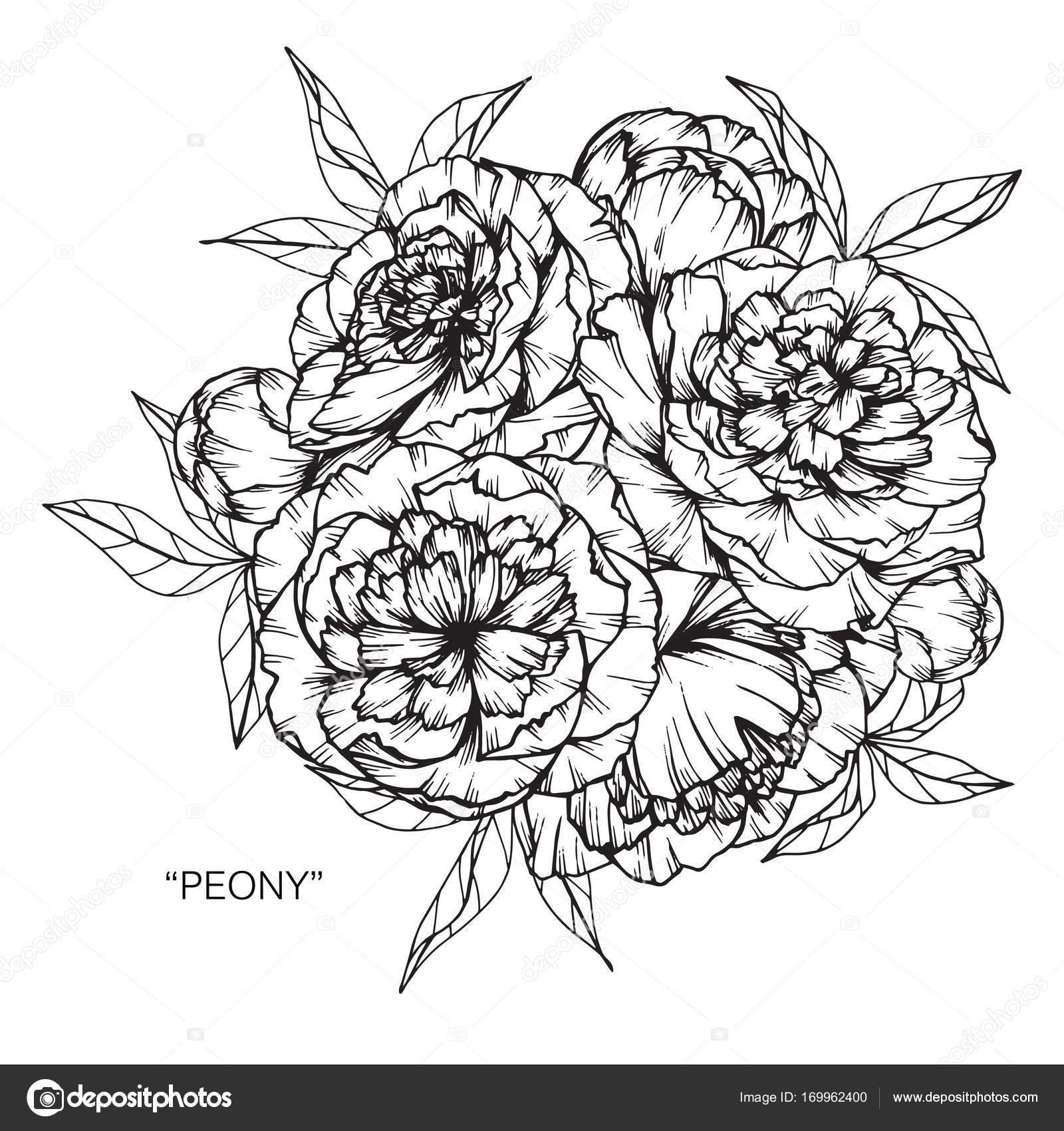 pfingstrose zeichnen blumen zeichnung, bouquet von pfingstrose blumen zeichnen — stockvektor © suwi19, Design ideen