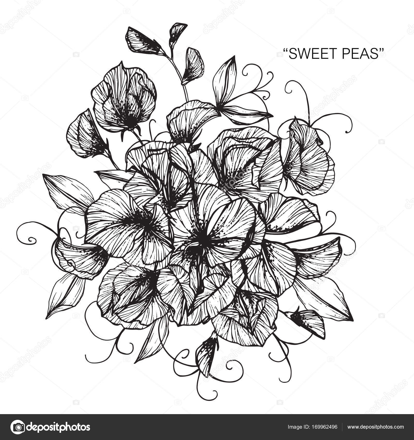 Bouquet of sweet peas flowers drawing stock vector suwi19 bouquet of sweet peas flowers drawing stock vector izmirmasajfo