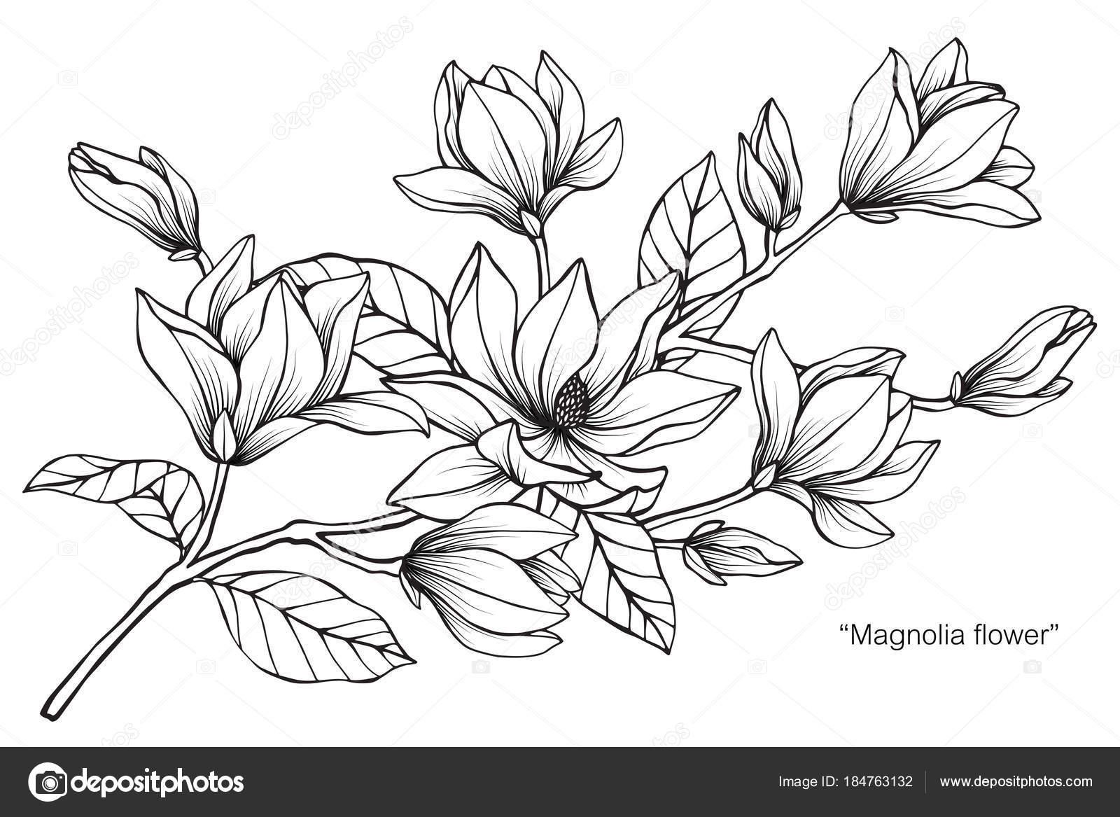 Magnólia Flor Desenho Ilustração Preto Branco Com Arte Linha
