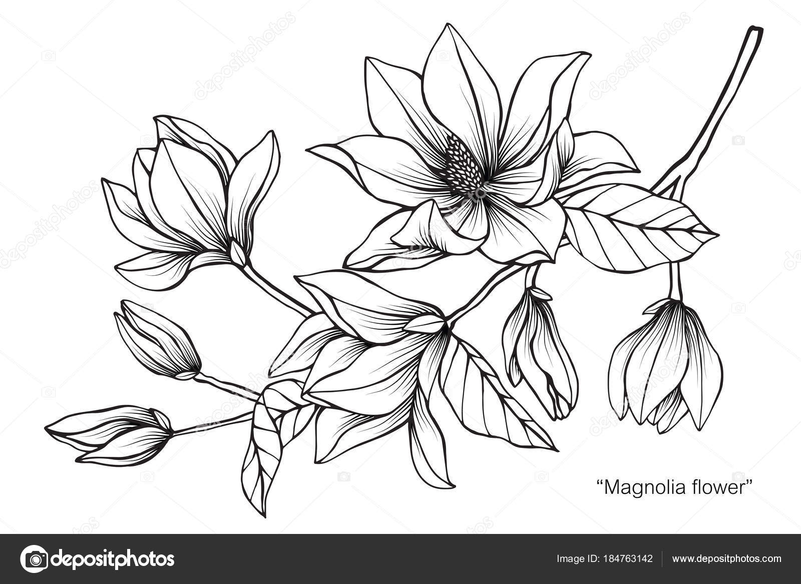 Magnolia Fleur Dessin Illustration Noir Blanc Avec Dessins