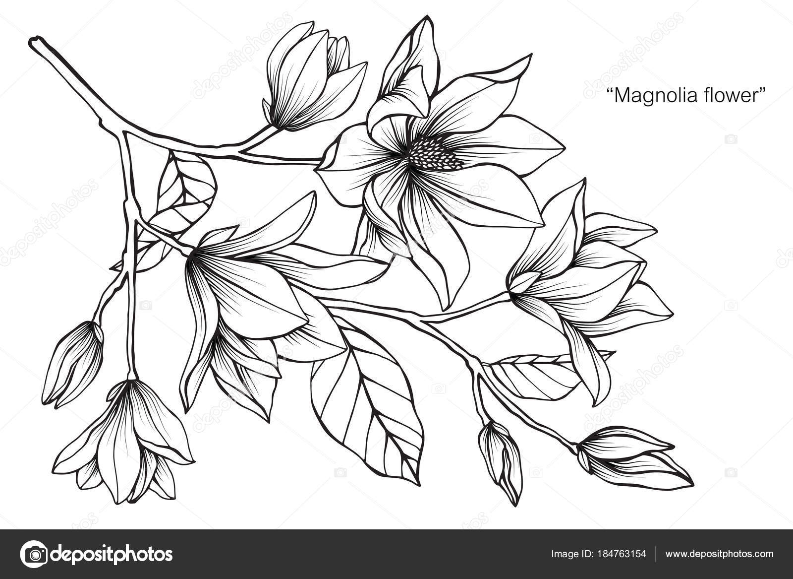 Magnolia Flower Drawing Illustration Black White Line Art White