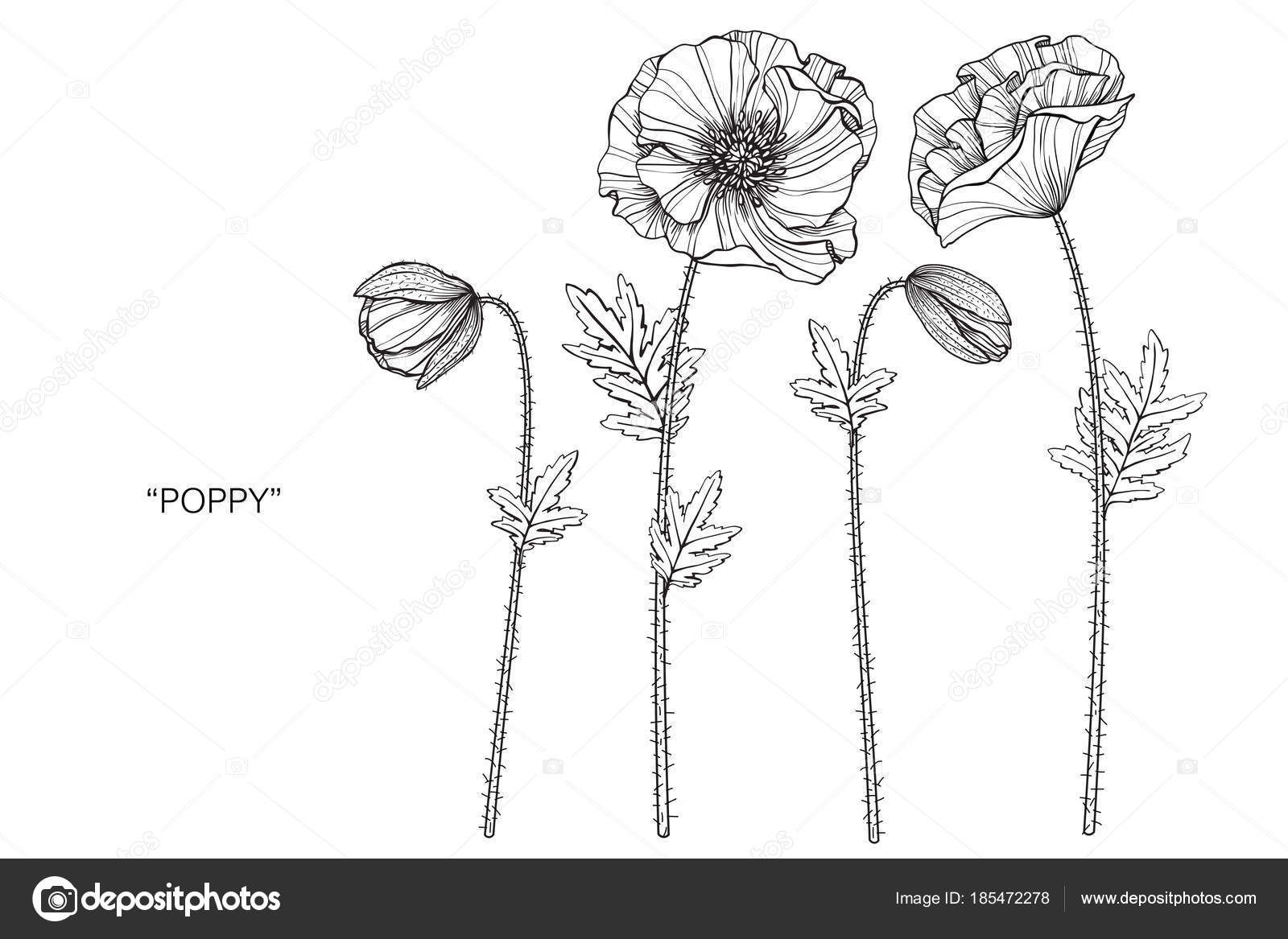 Poppy Flower Drawing Illustration Black White Line Art White