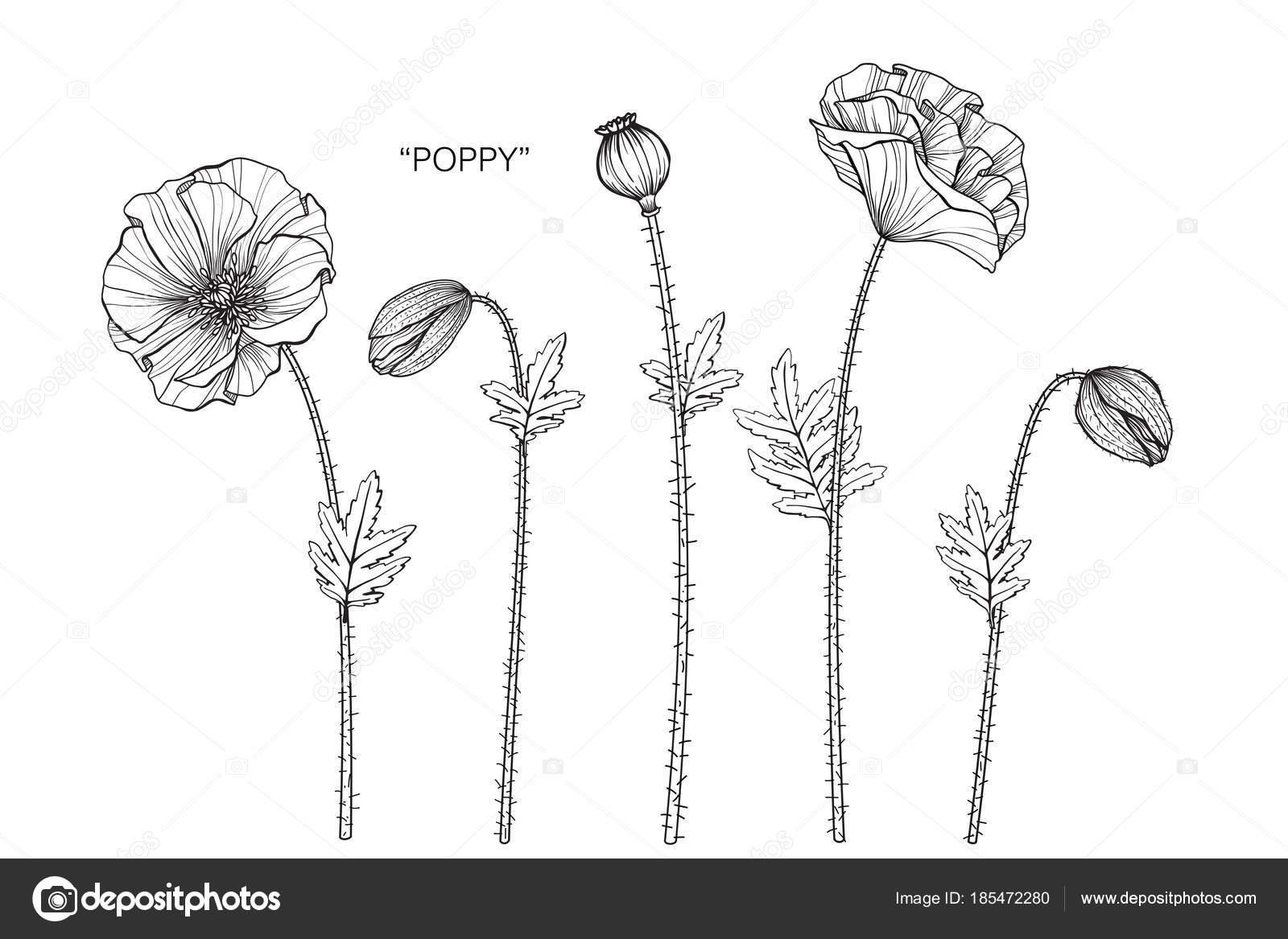 Poppy Flower Drawing Illustration Black White Line Art White