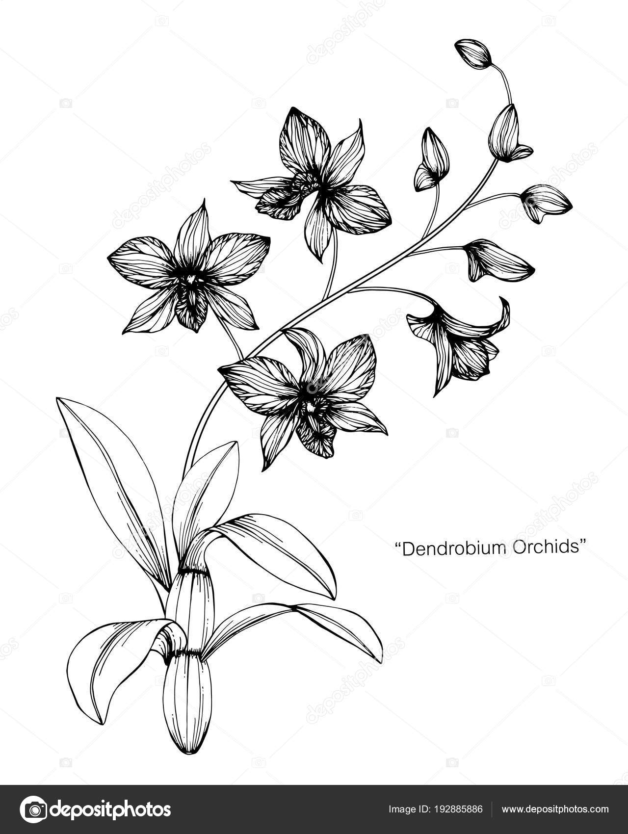 Orchid flower drawing illustration black white line art white orchid flower drawing illustration black white line art white backgrounds stock vector mightylinksfo