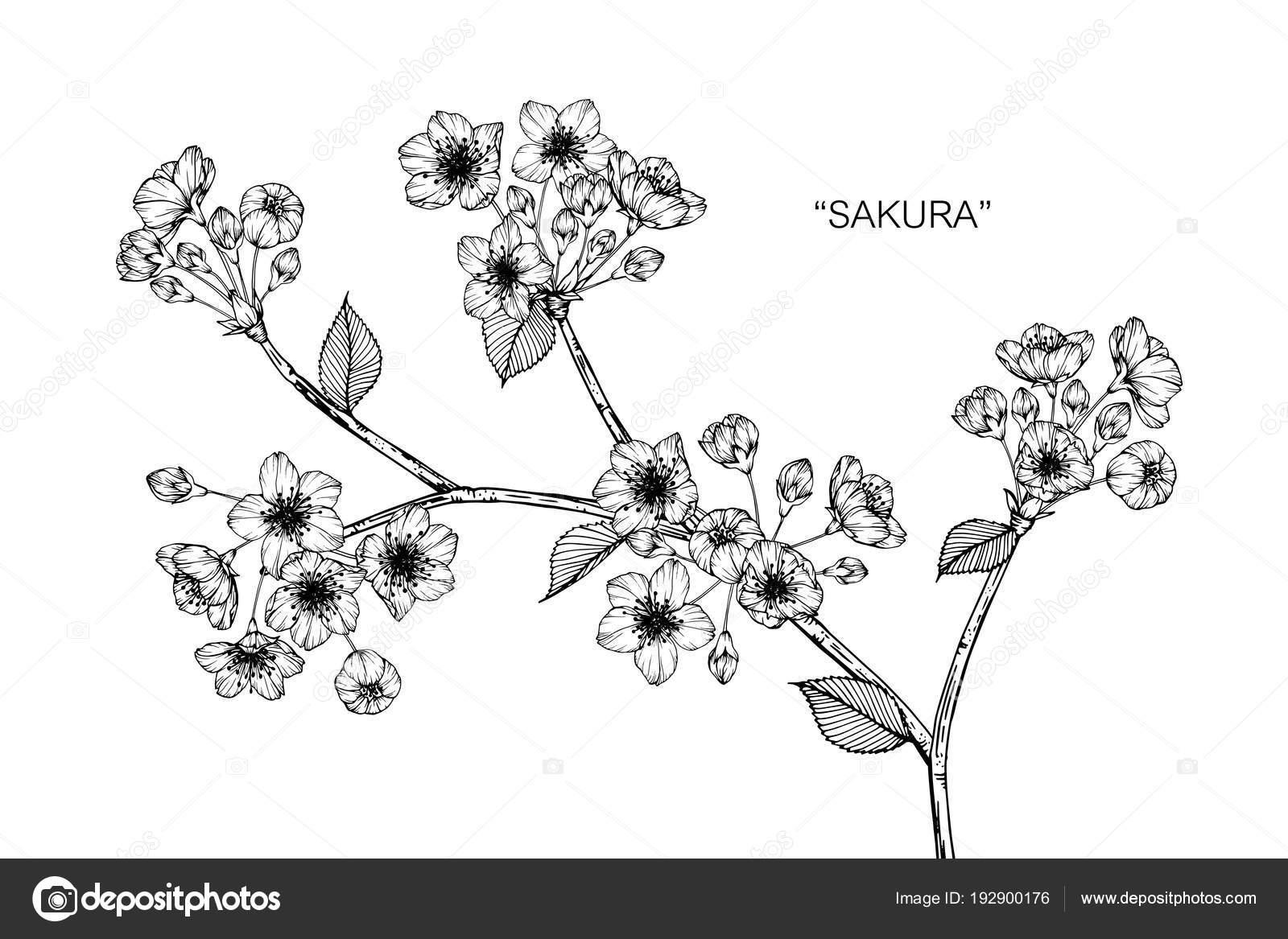 Sakura Fleur Dessin Illustration Noir Blanc Avec Dessins